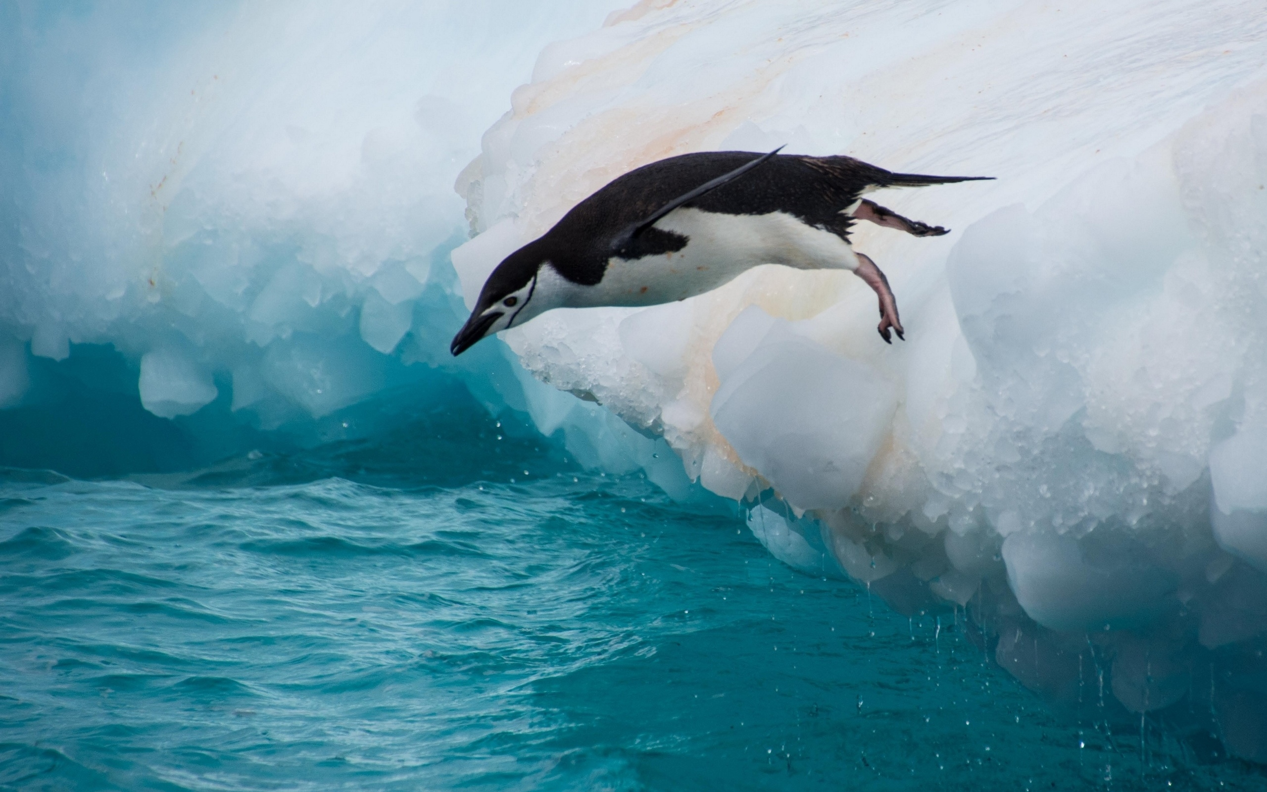 Картинки про человека пингвина