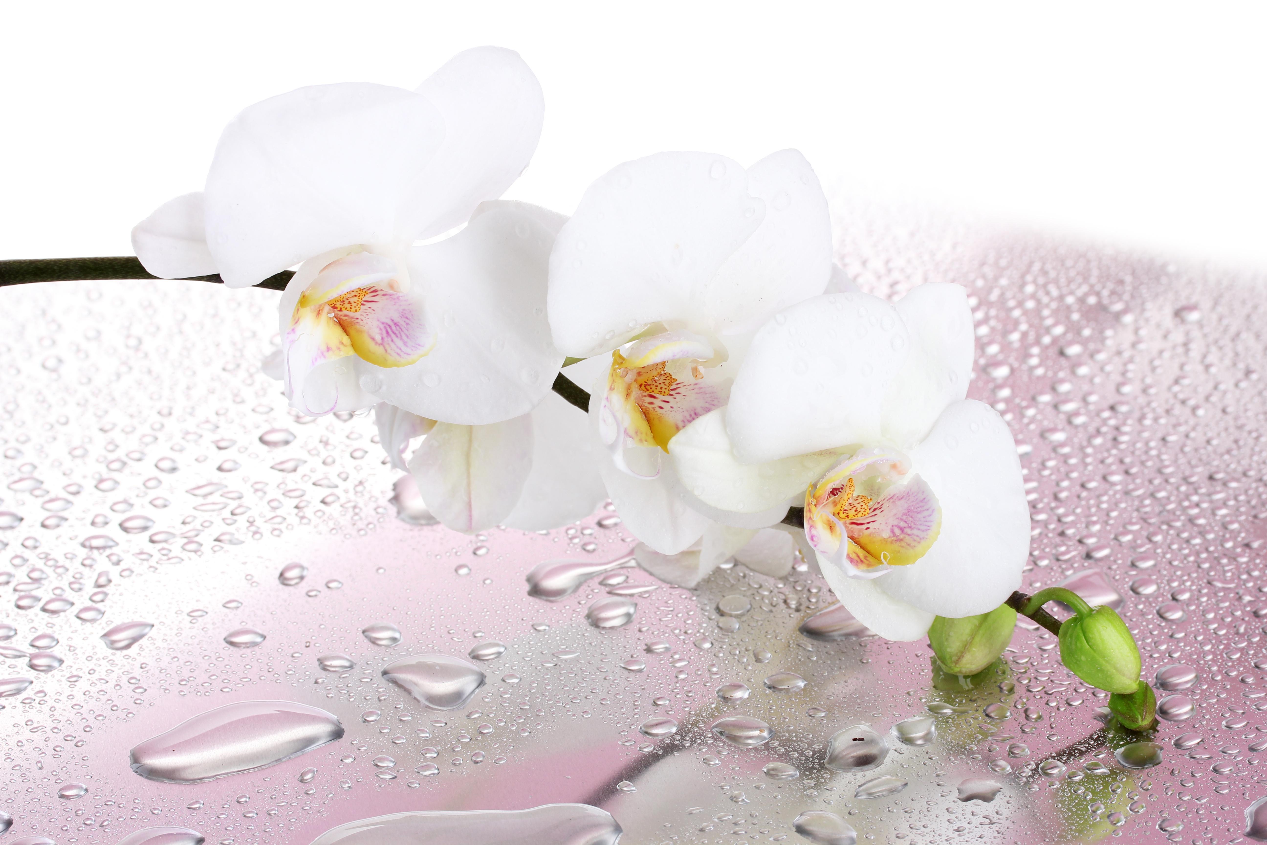 Картинки для рабочего стола цветы на белом фоне