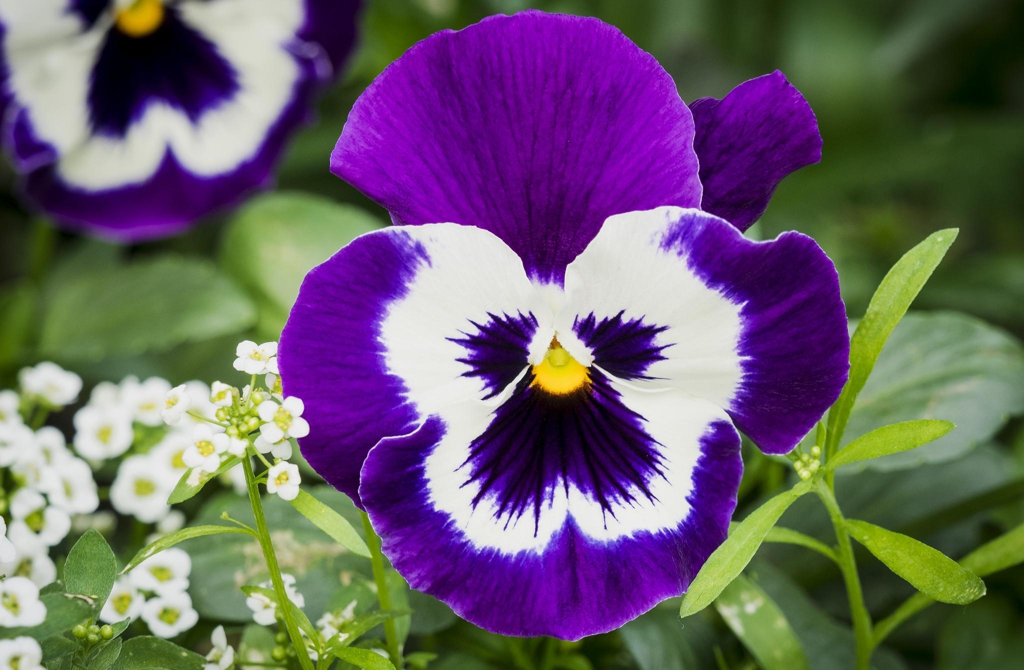анютины глазки фото цветов хорошего разрешения качестве неоспоримого бонуса