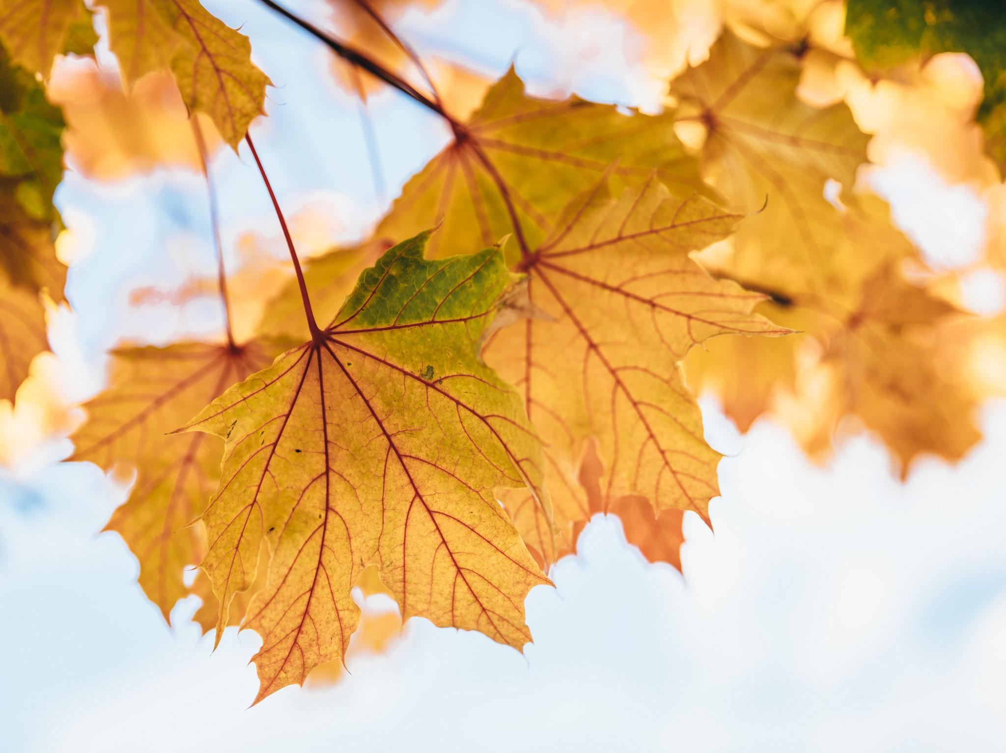 Кленовые листья картинки в хорошем качестве