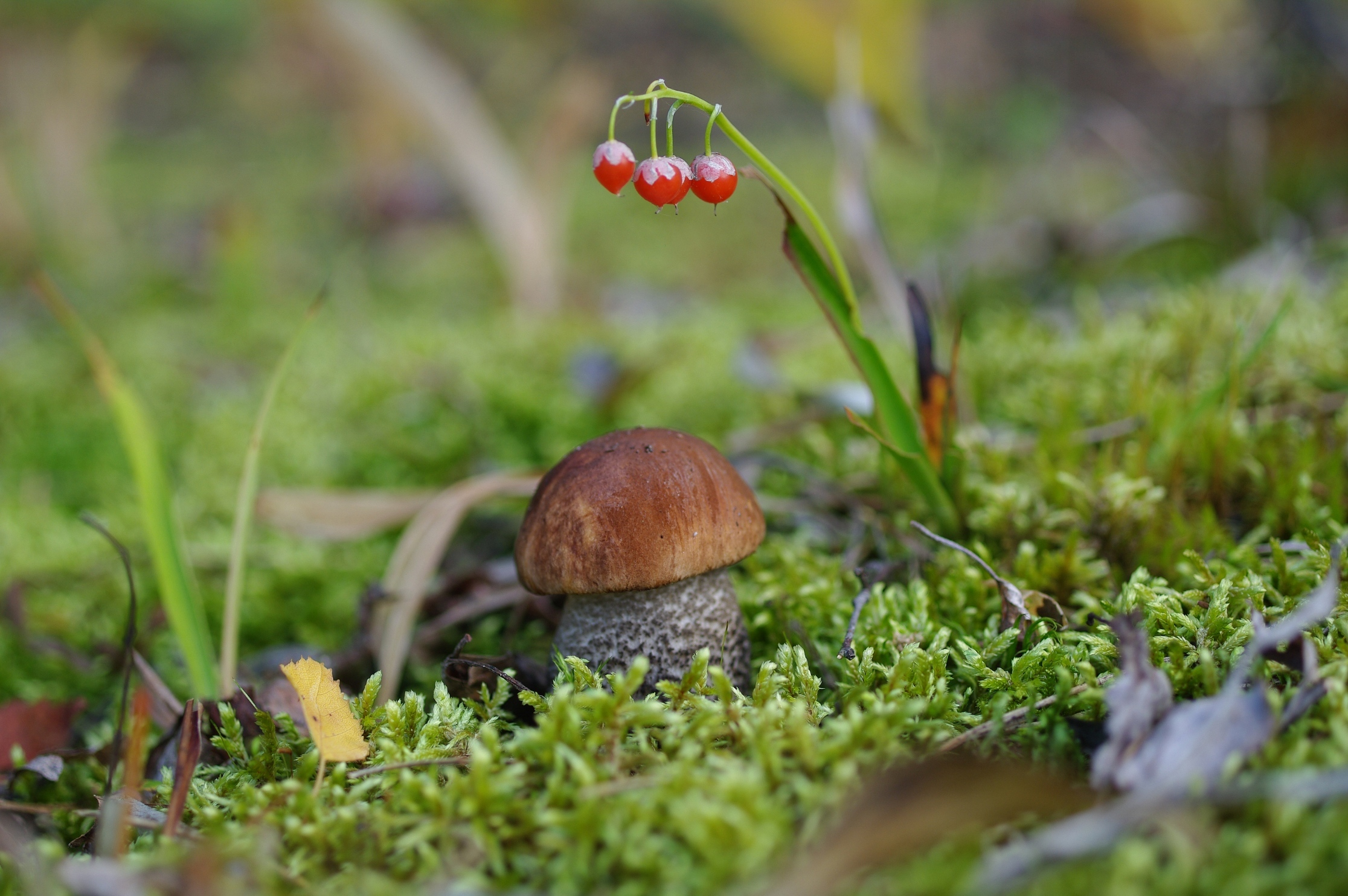 фото грибы в лесу на рабочий стол
