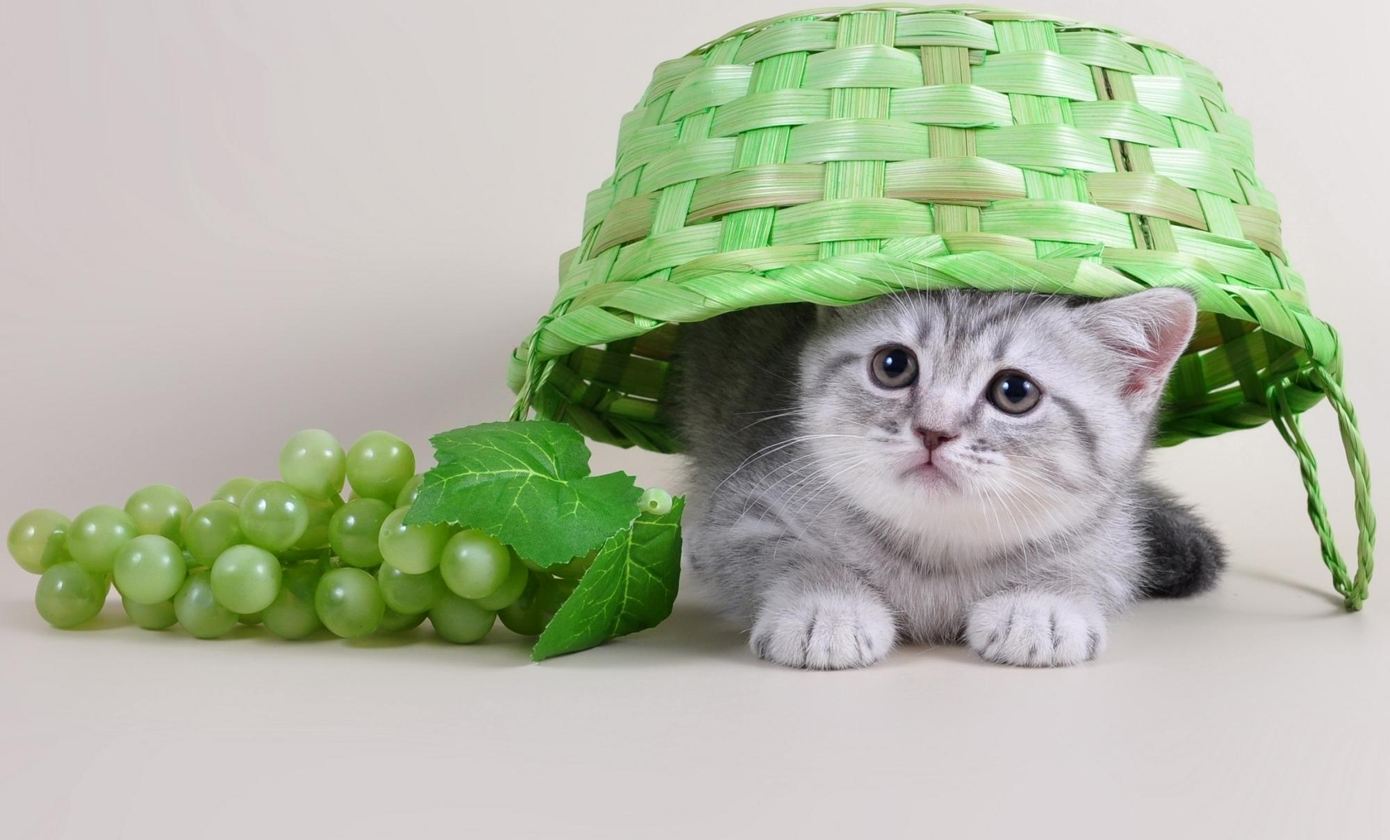 картинки котики с фруктами домашние