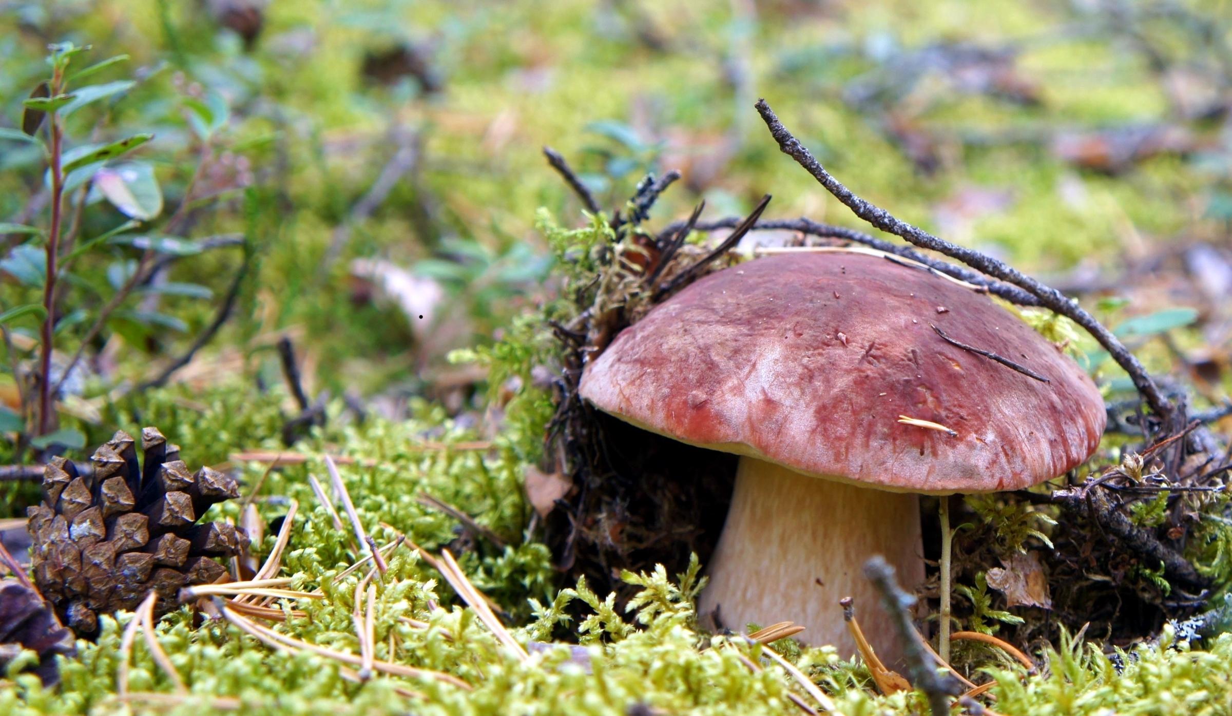 грибы обои и картинки на рабочий начинку распределите основанию