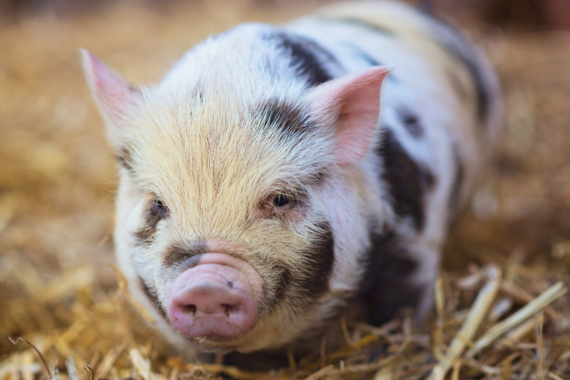 Картинки свиньями