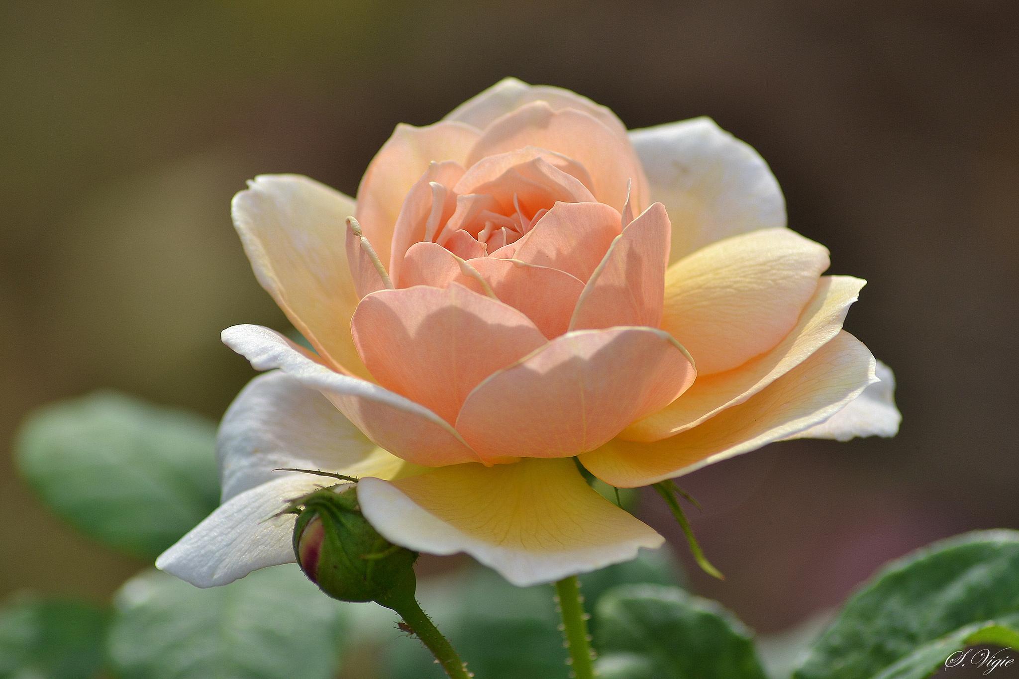 наступлением картинки кремовые бутоны роз такие накладки
