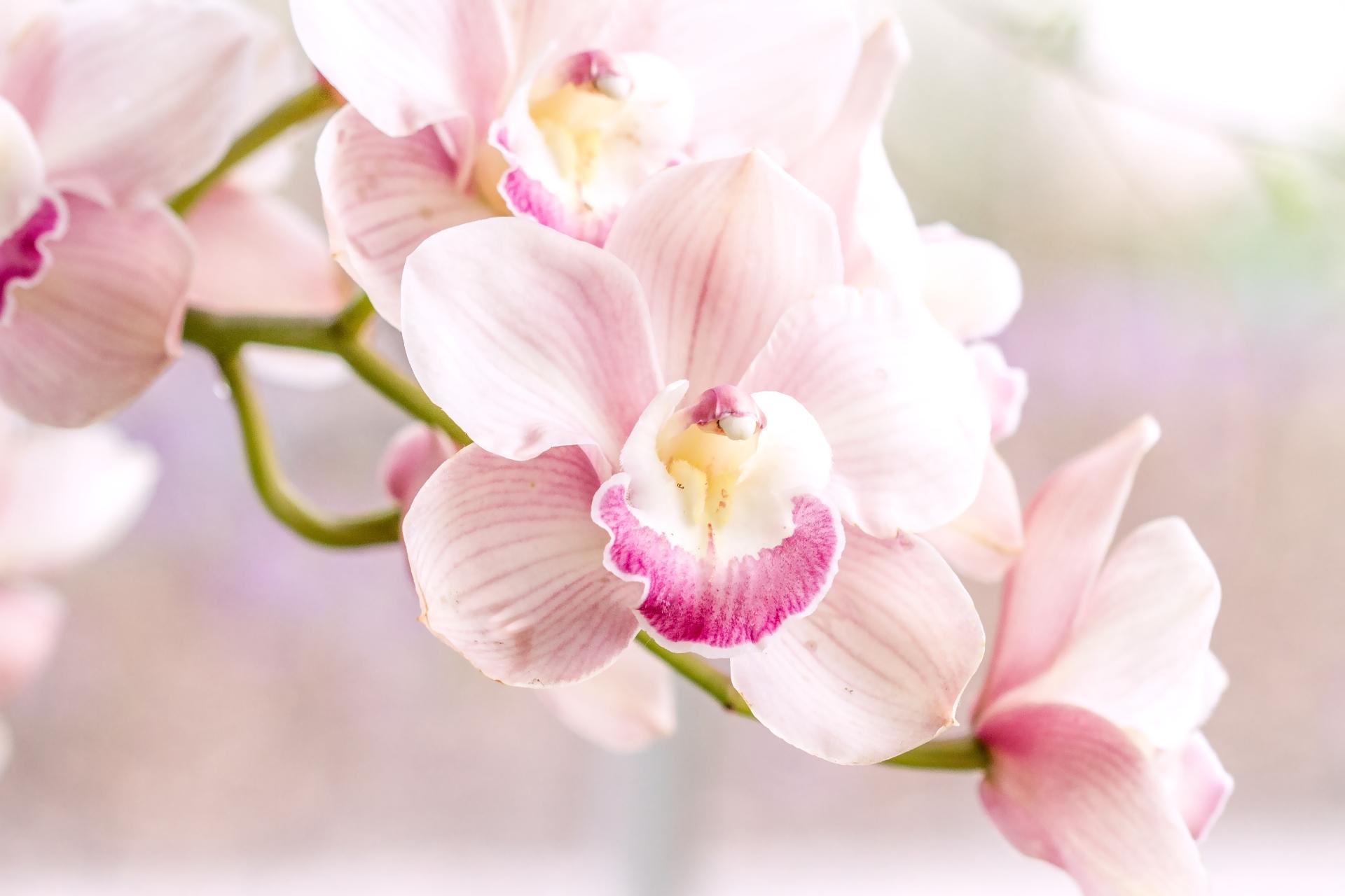 орхидея розовая картинки макушки которых находятся