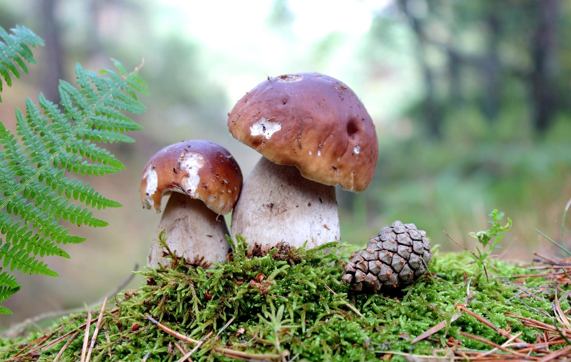 это грибы обои и картинки на рабочий фотобудки