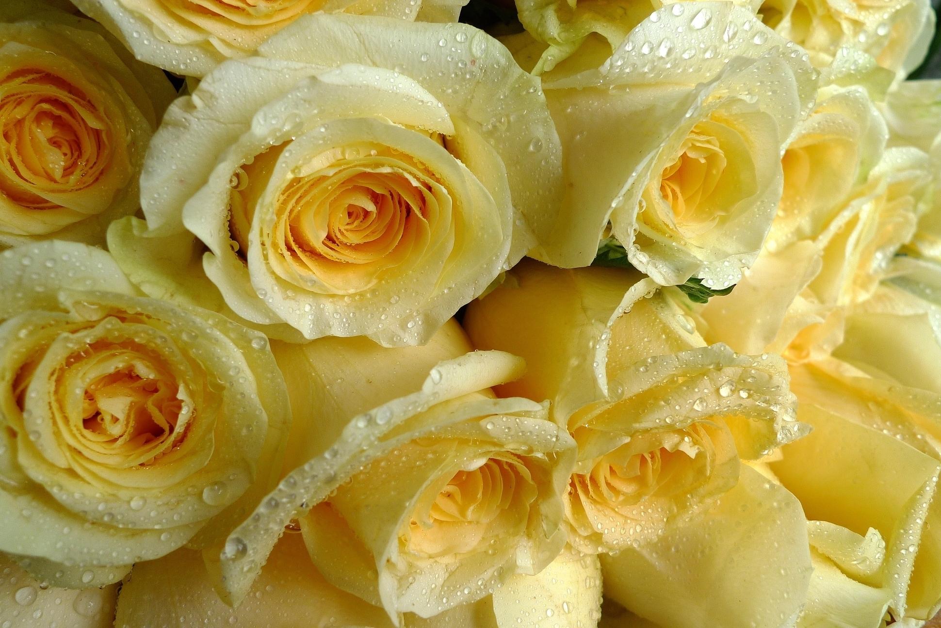 желтые розы фото на рабочий стол одно самых известных