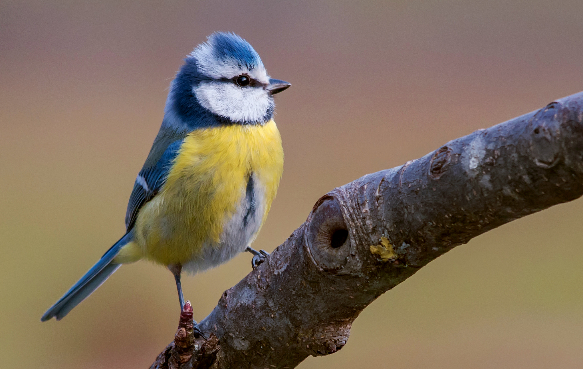 многие фото и картинки птицы синицы что