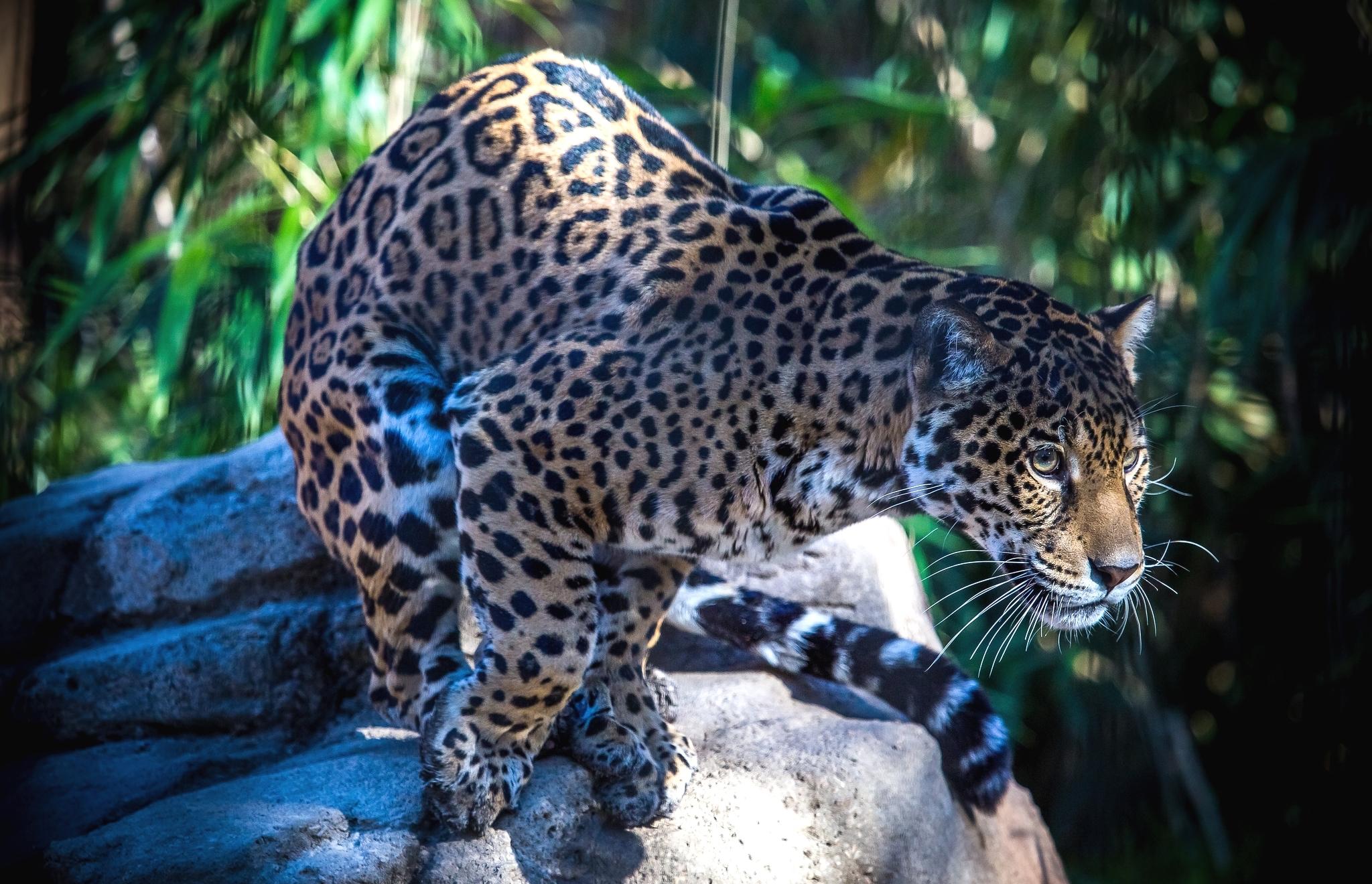 Ягуар фото в высоком изображении