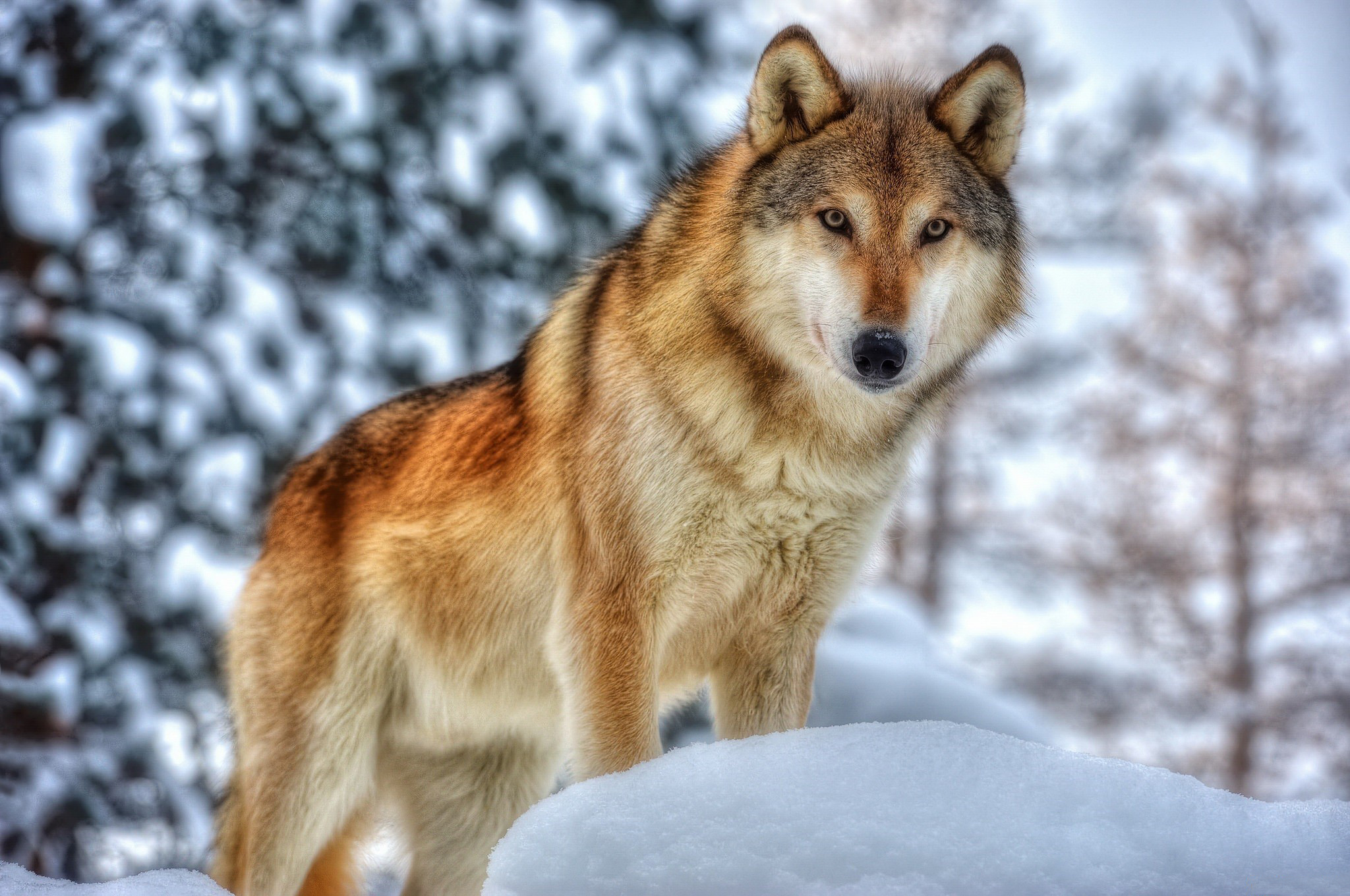 Картинка про волков на снегу