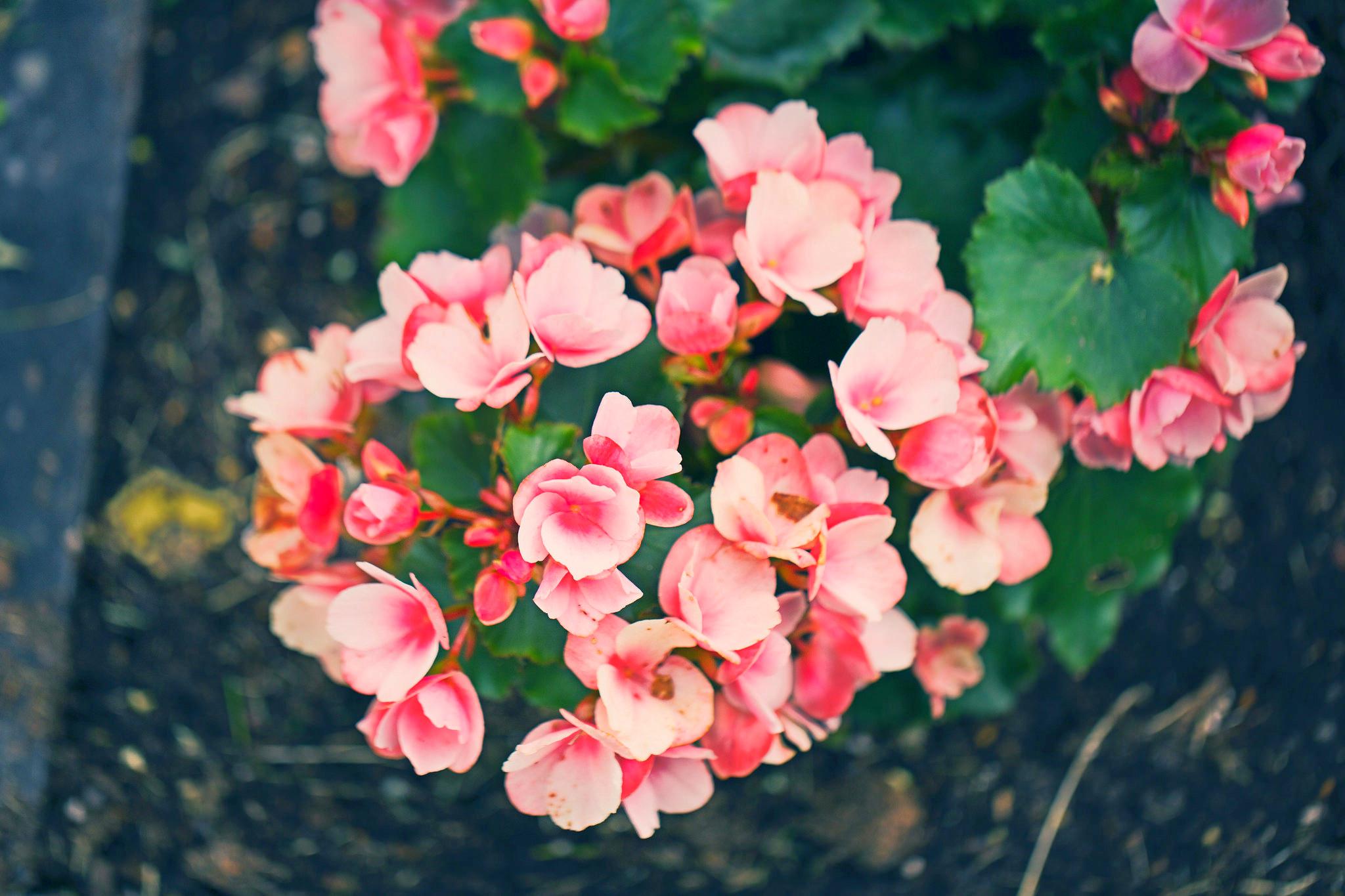 Цветы с розовыми цветами 98