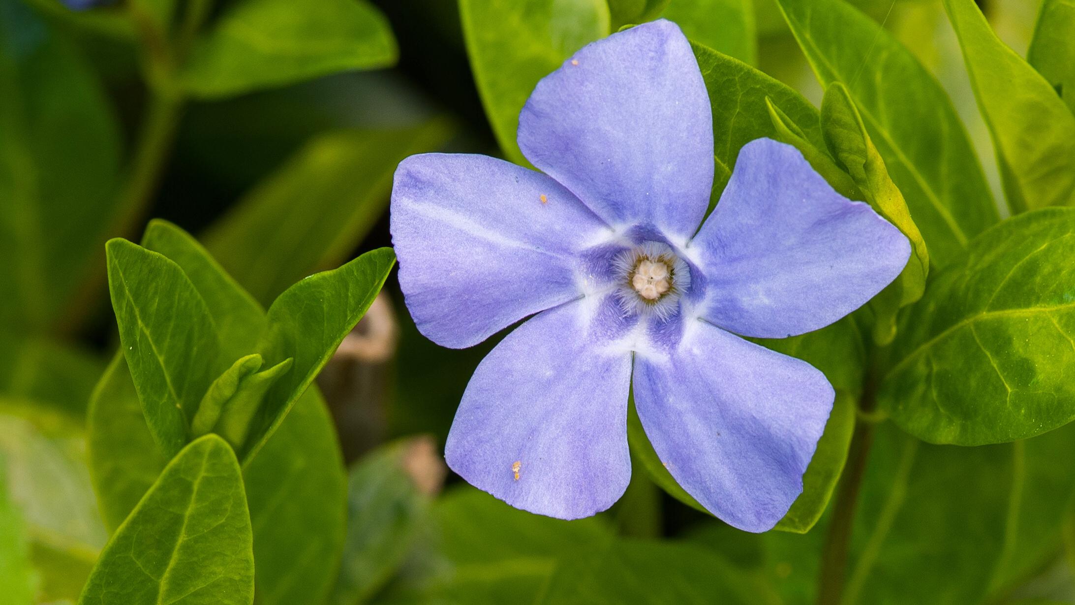 описание и фото цветка барвинок квадратный