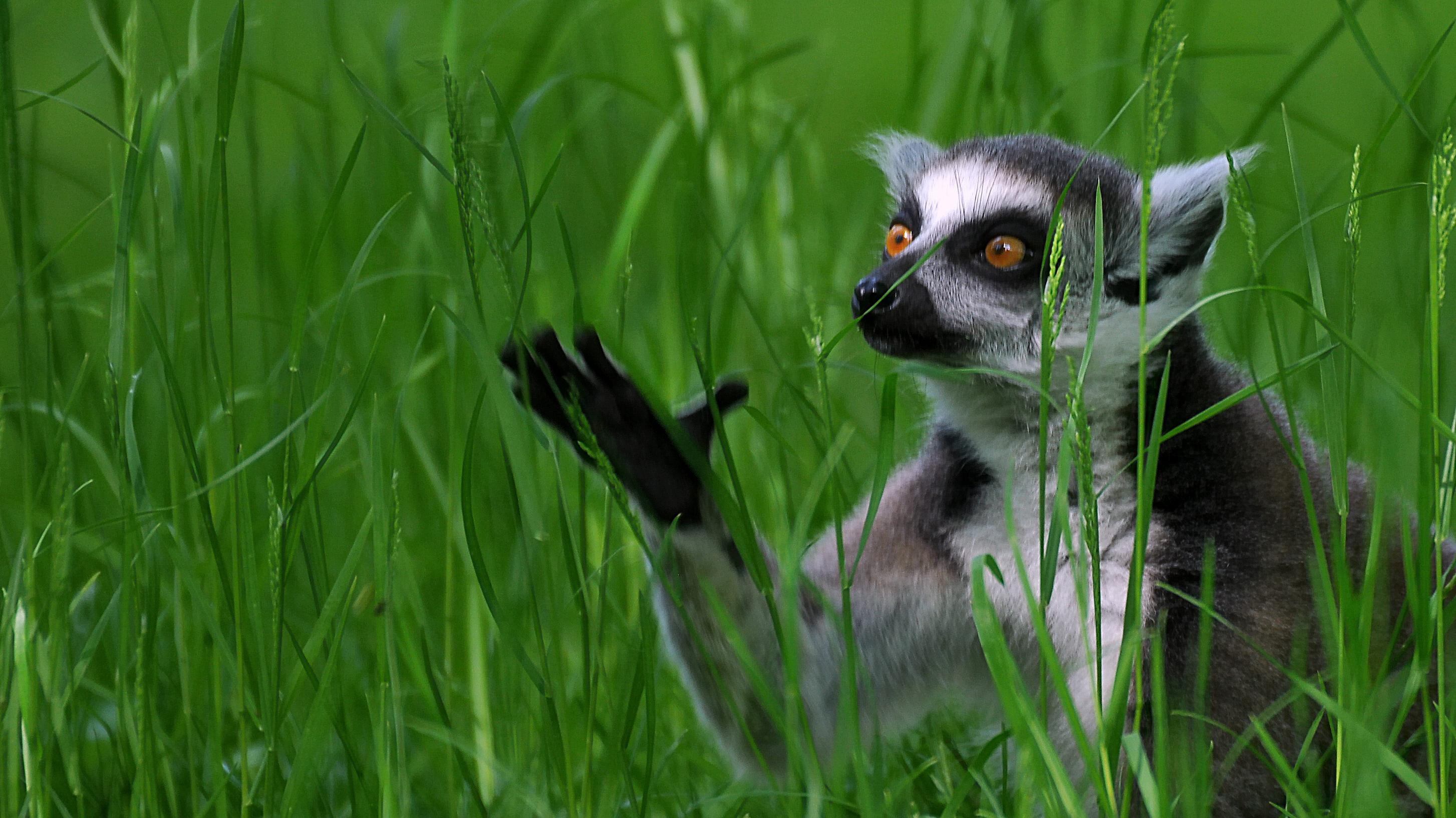 wallpapers gras lemuren katzen lemuren f r desktop 115636. Black Bedroom Furniture Sets. Home Design Ideas