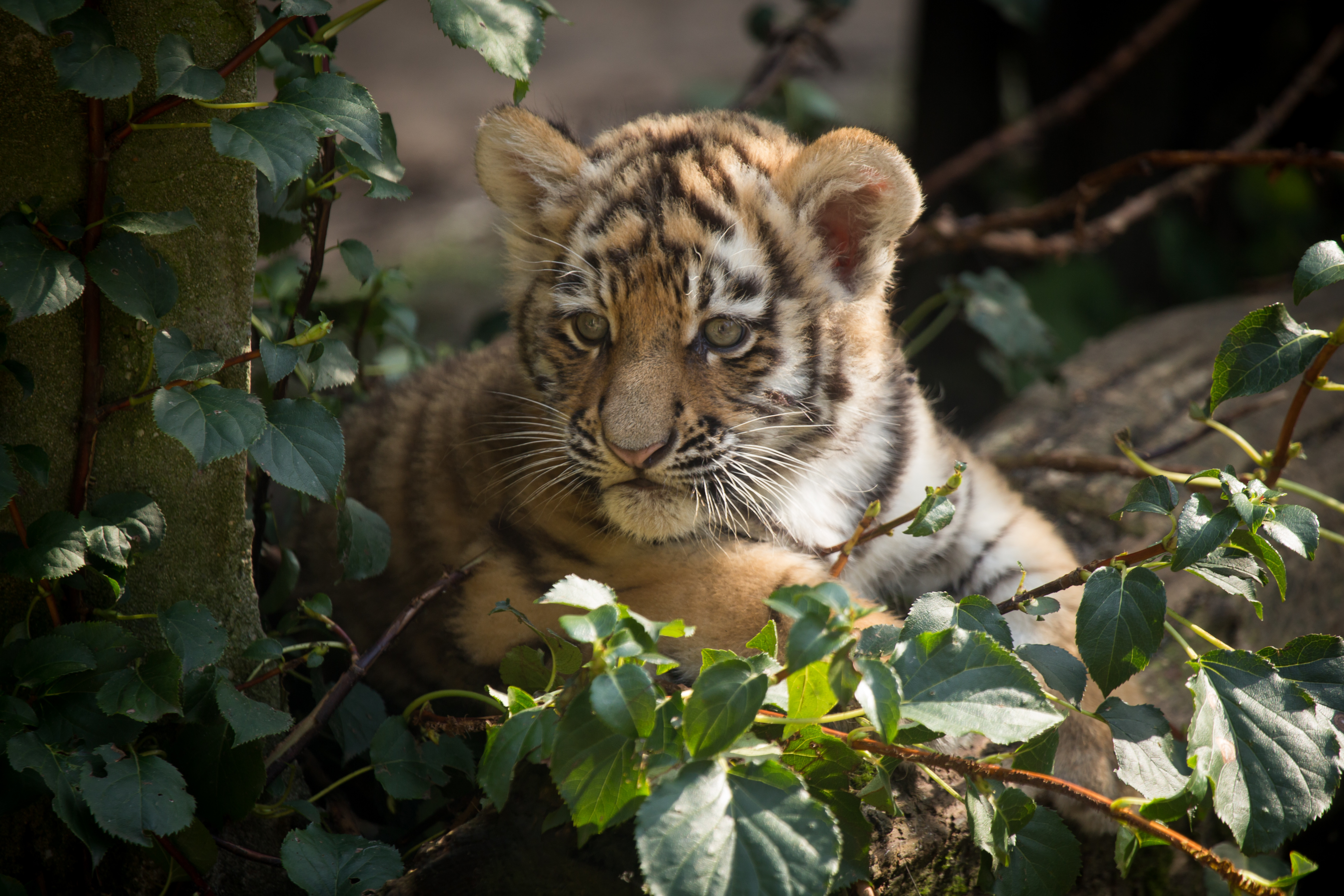 чувства красивые картинки маленьких тигрят класс сборки