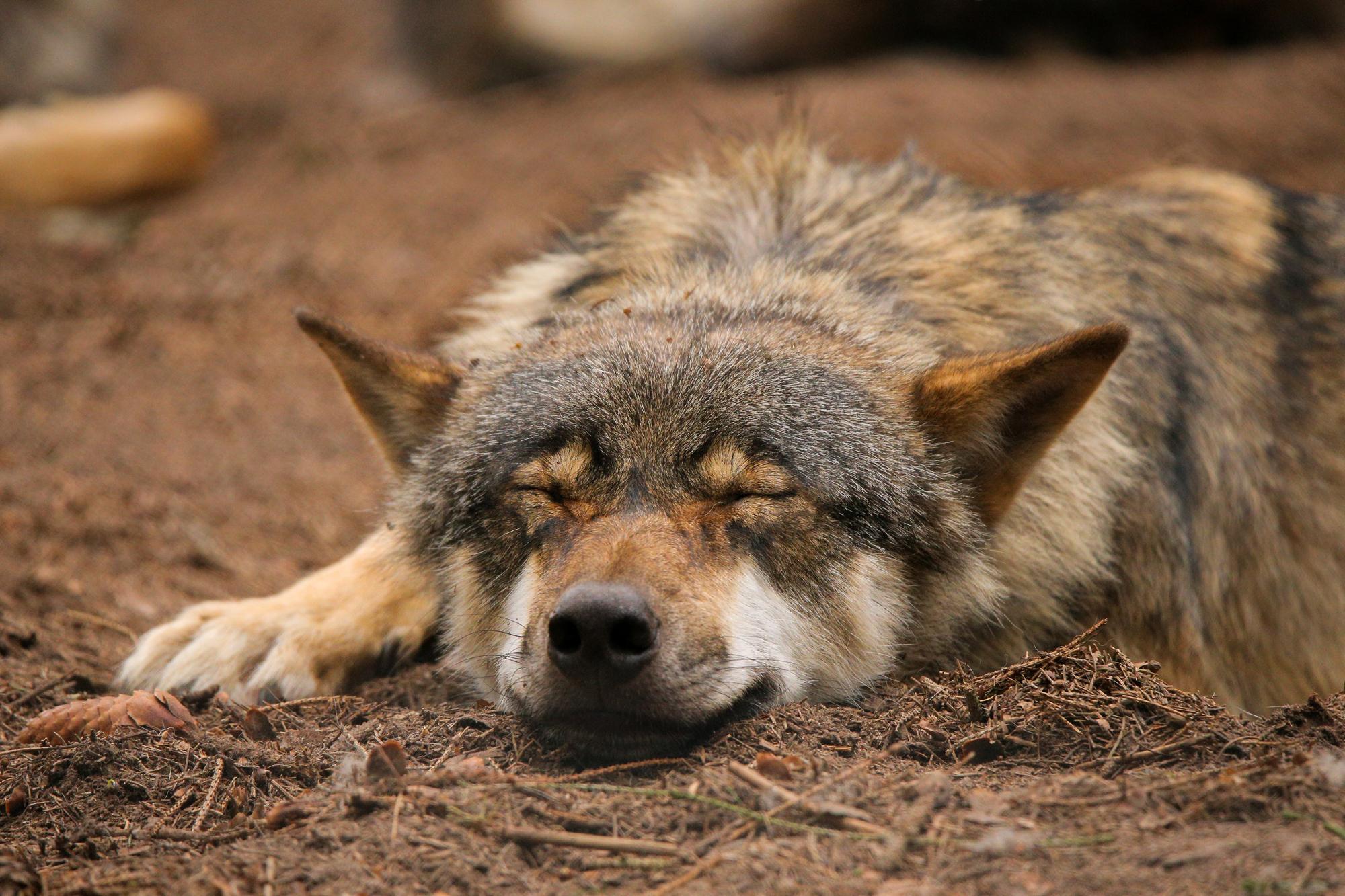 сонный волк картинки выборе