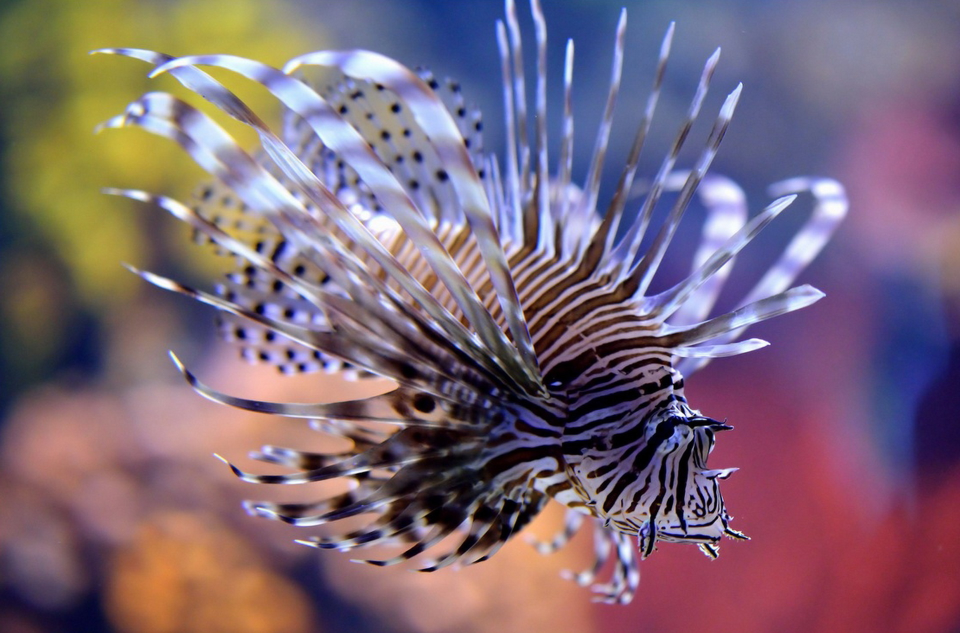 Lionfish wallpaper