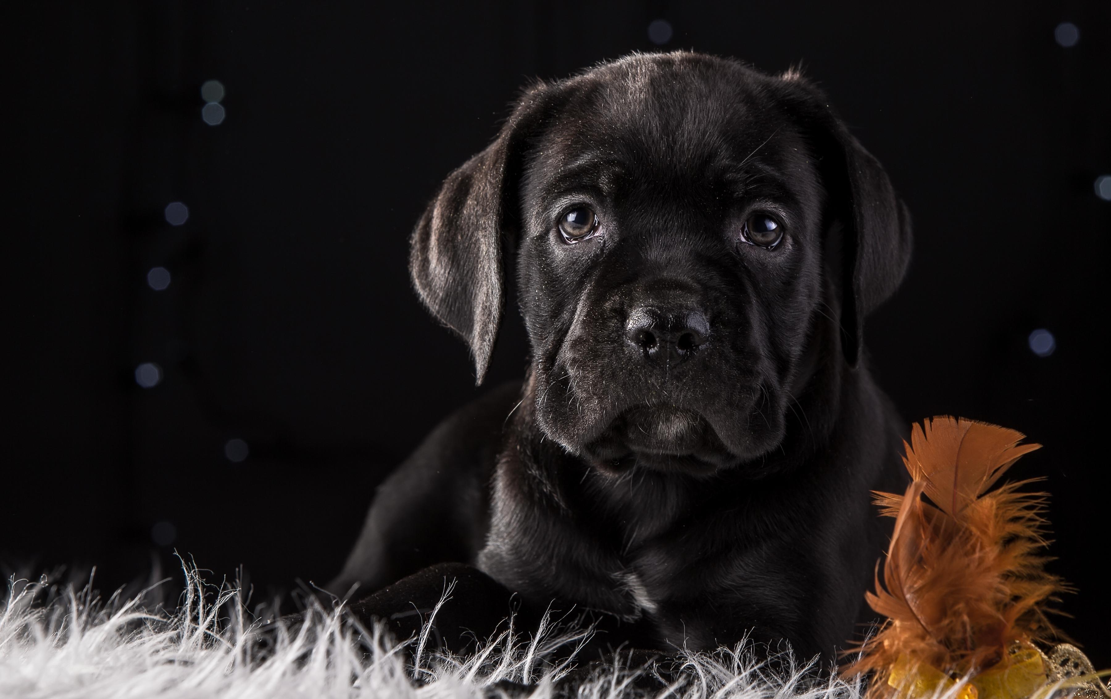 картинки рабочего стола черные собаки определенно