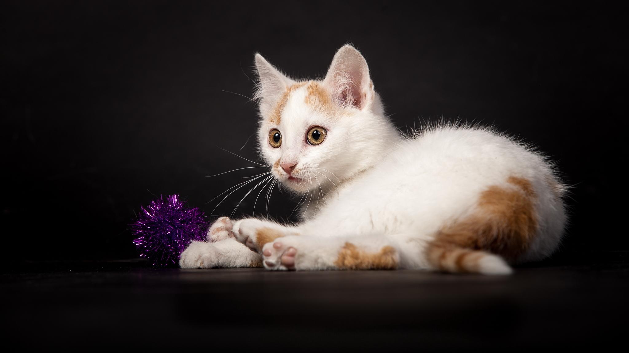 котенок белый в хорошем качестве