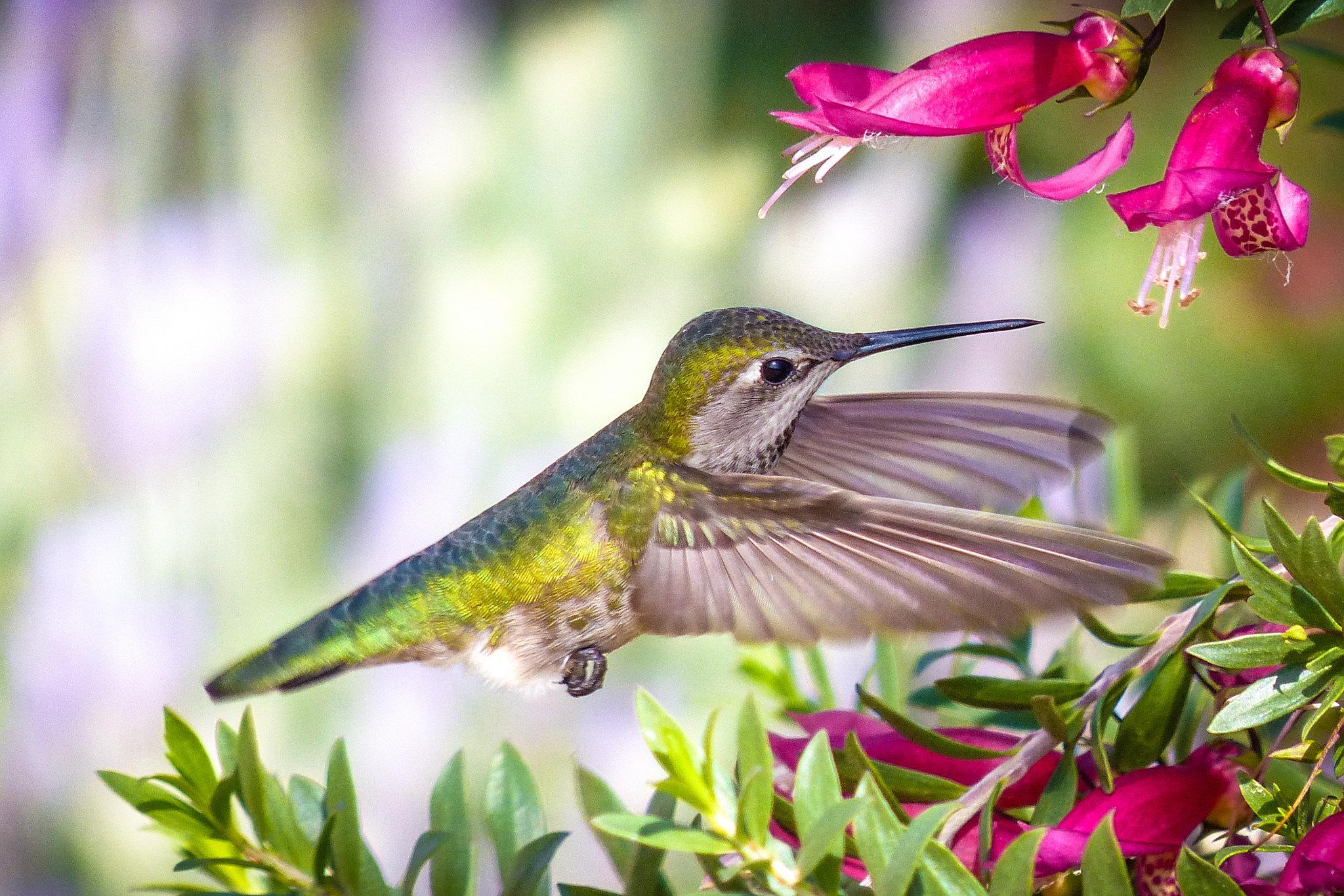 Самые красивые картинки колибри