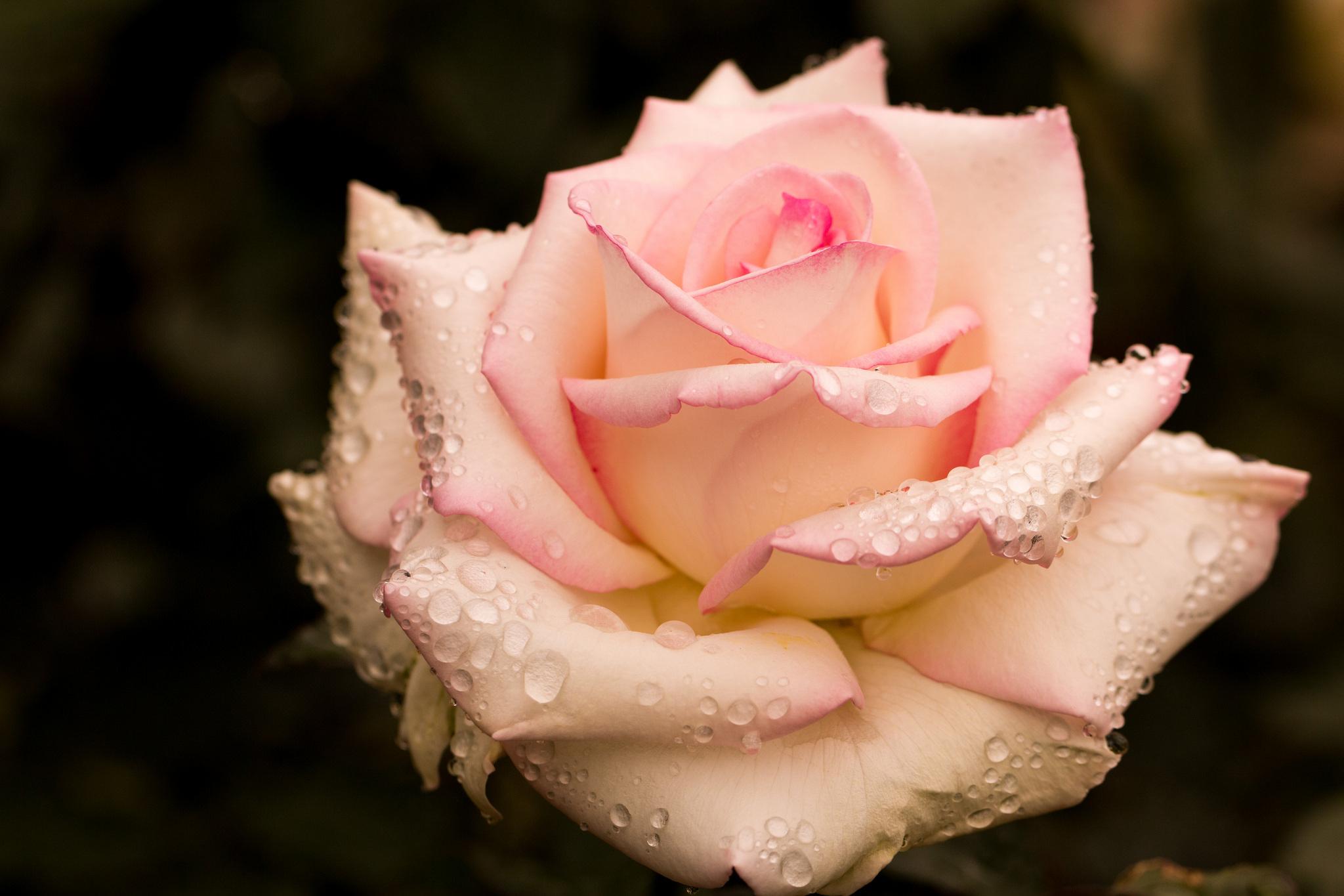 этом фото большие розы с росой первый раз открыла