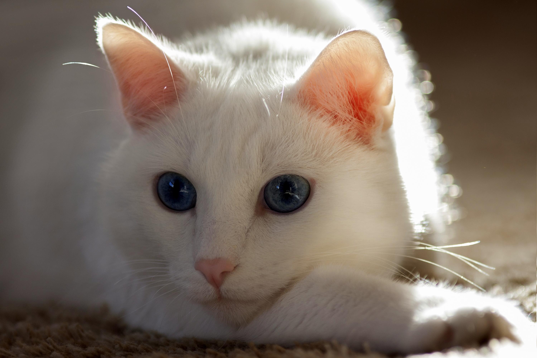 Фото только белых кошечек