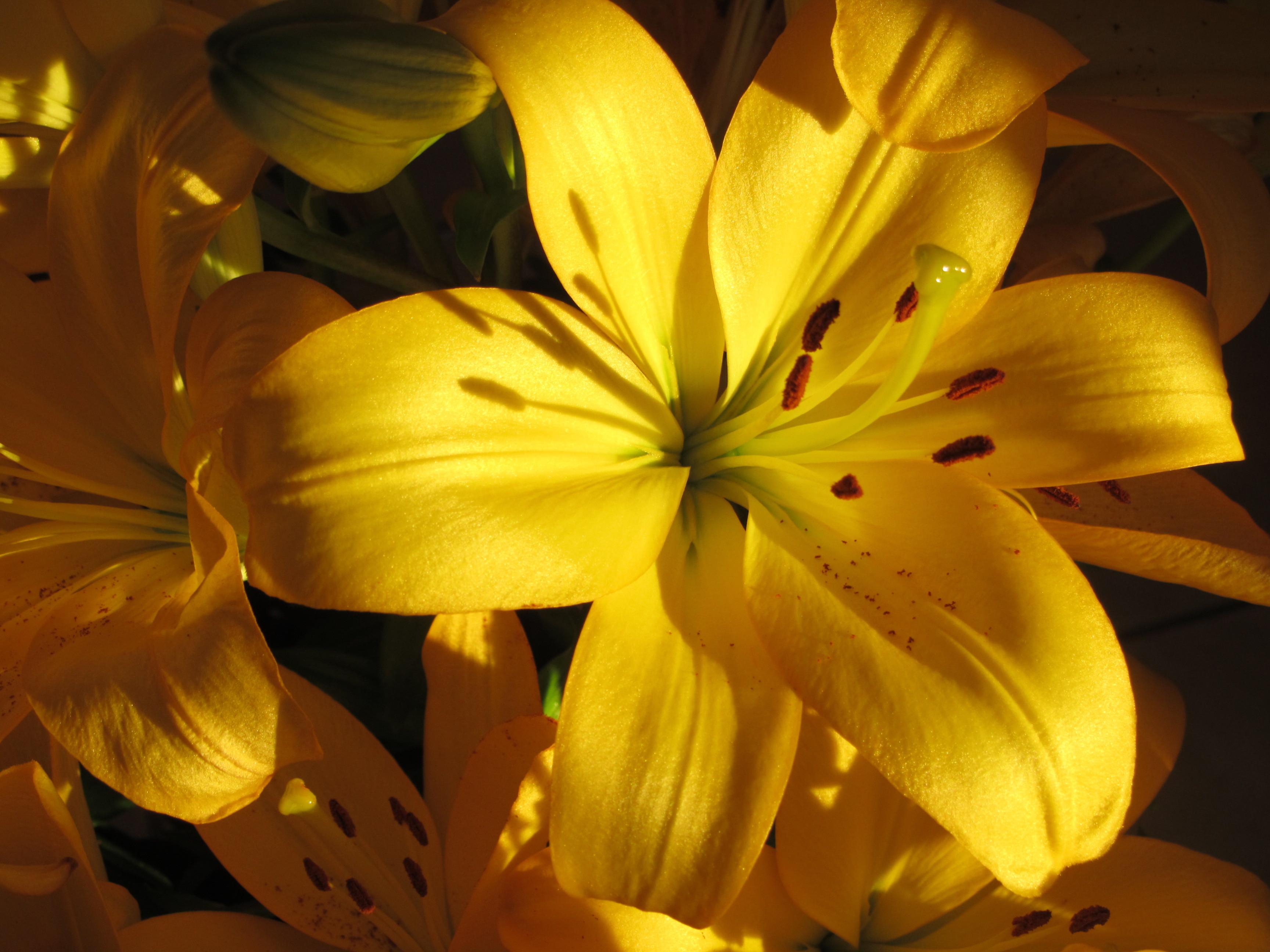 Картинки на рабочий стол лилии желтые