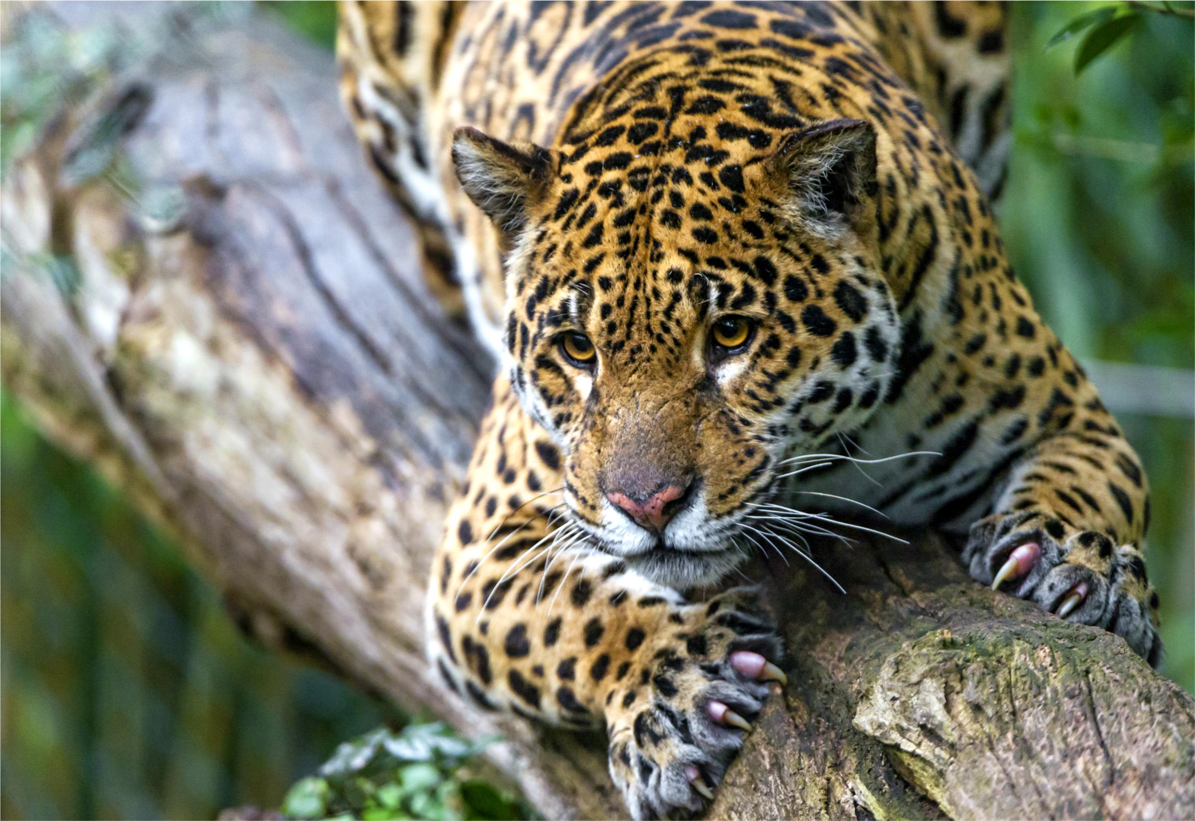 картинки диких ягуаров котлы оснащены контроллерами