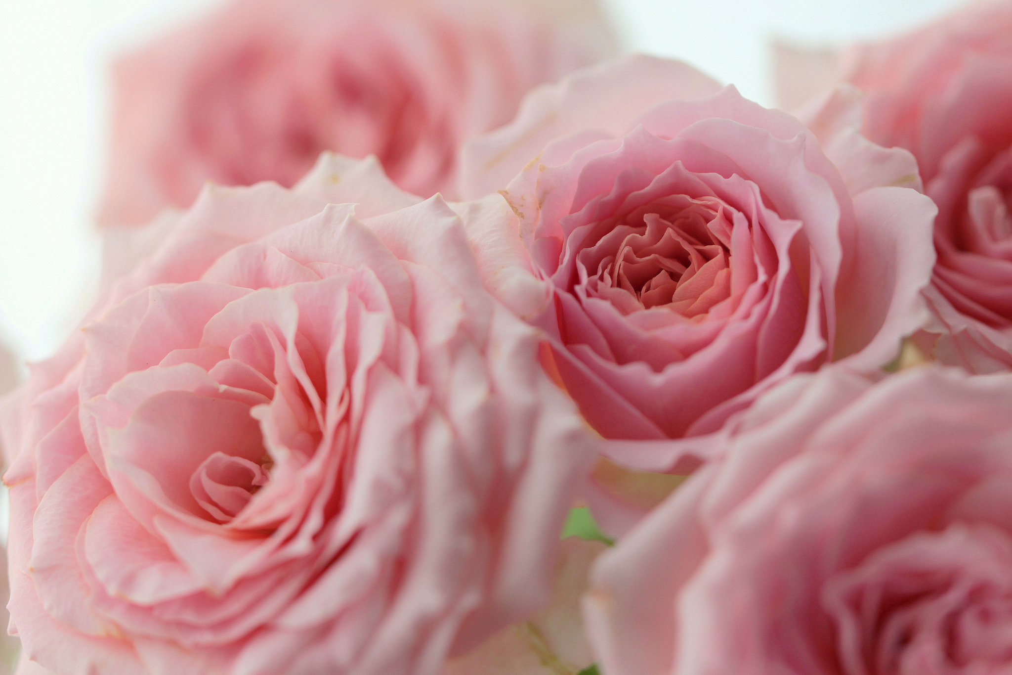 картинка на рабочий стол розы нежные розы