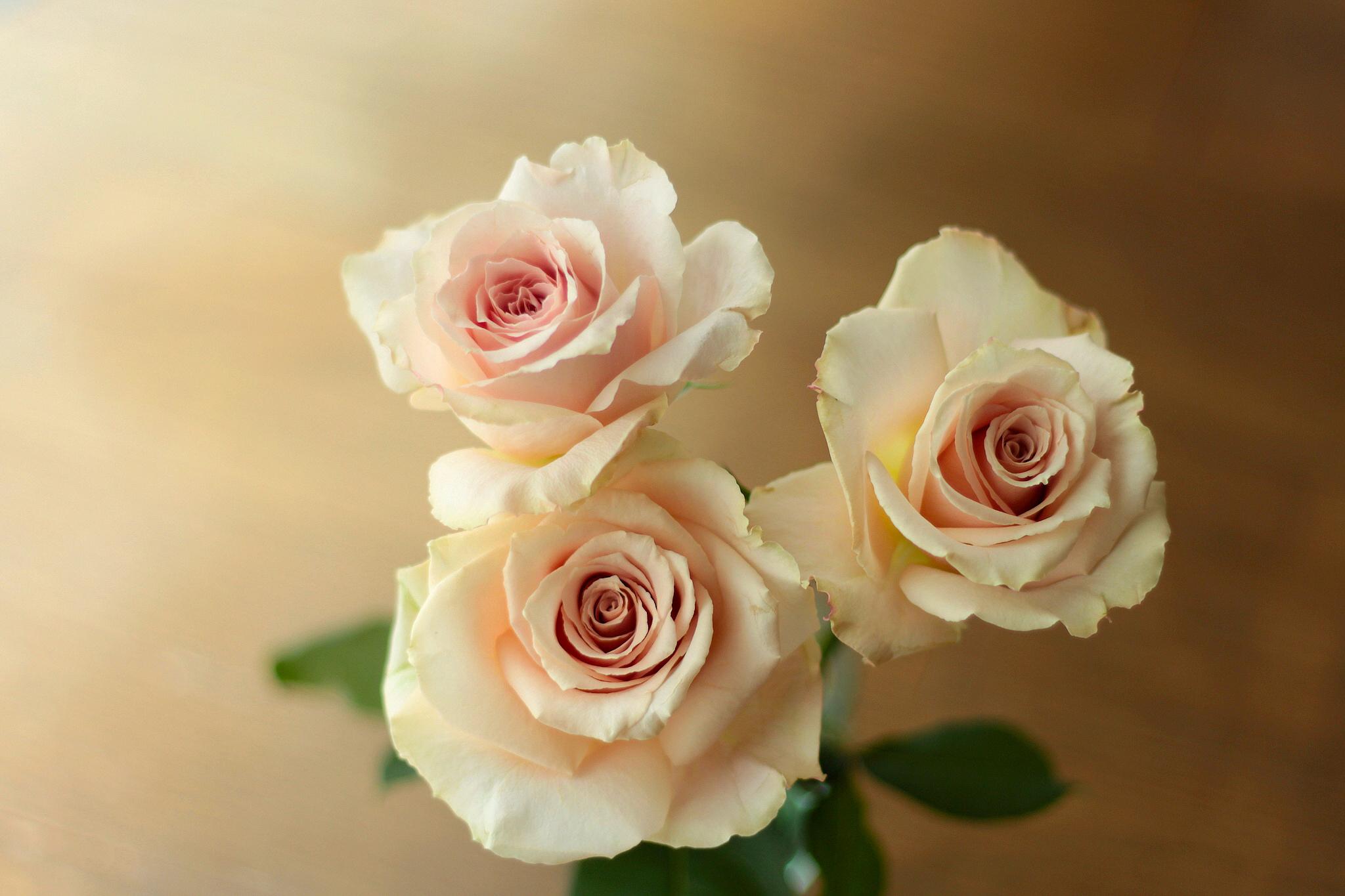 Картинка бежевая роза