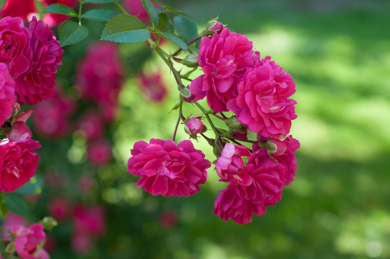 картинки на рабочий стол розы летом бегонии рекс