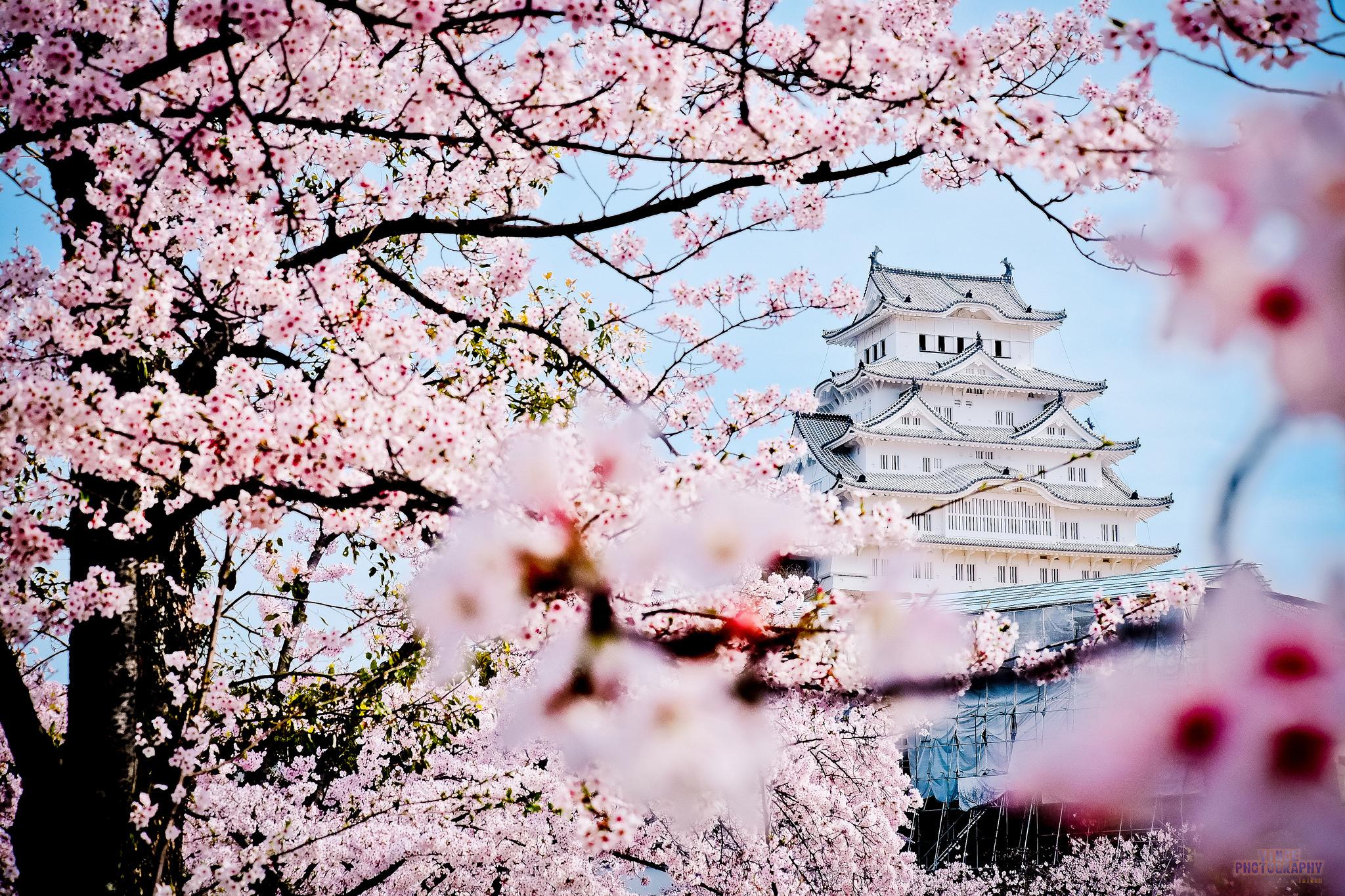 коленного картинка пагода и сакура сеансы