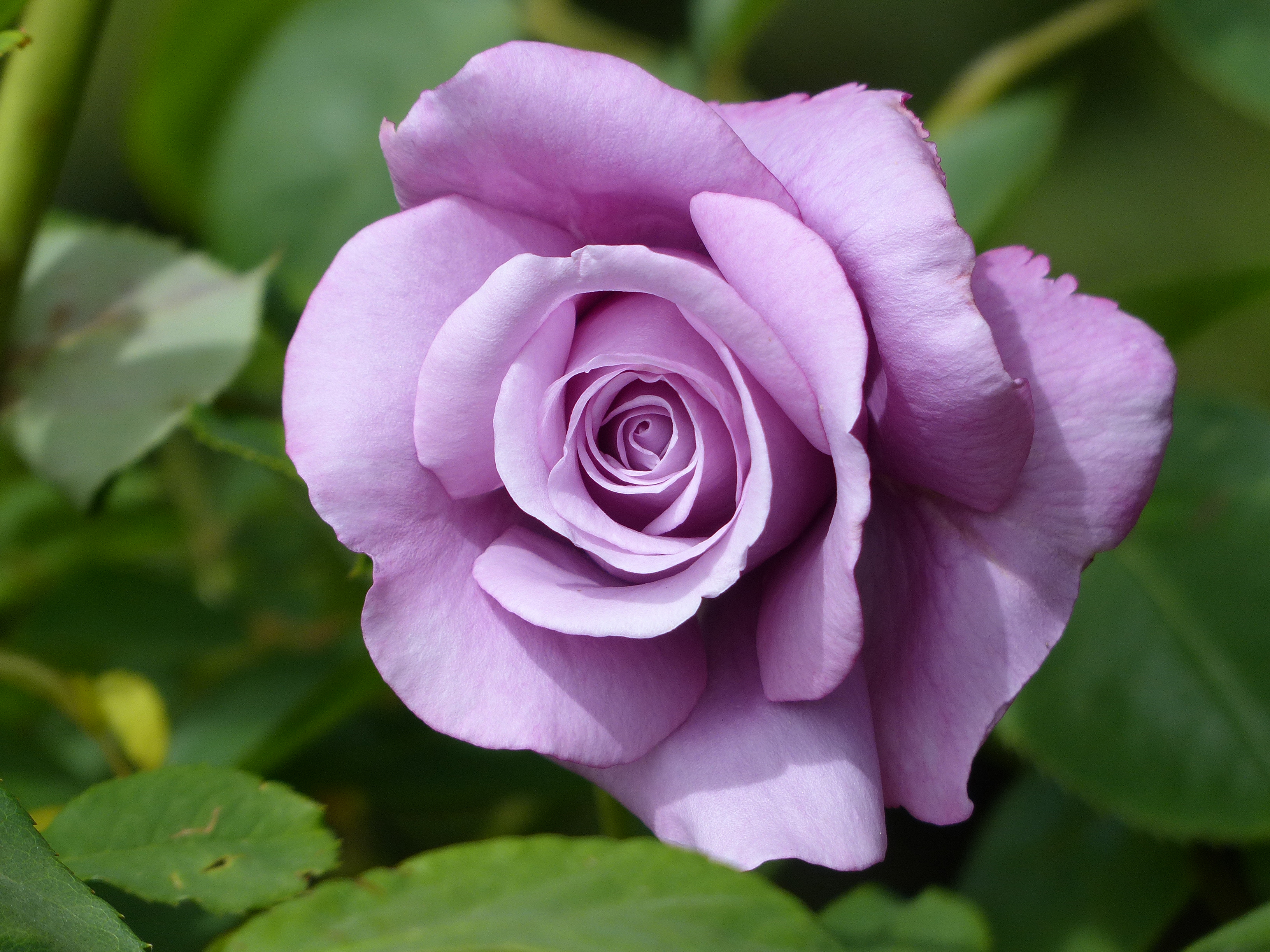 Букеты роз фото с добрым утром любимой недоверием относился
