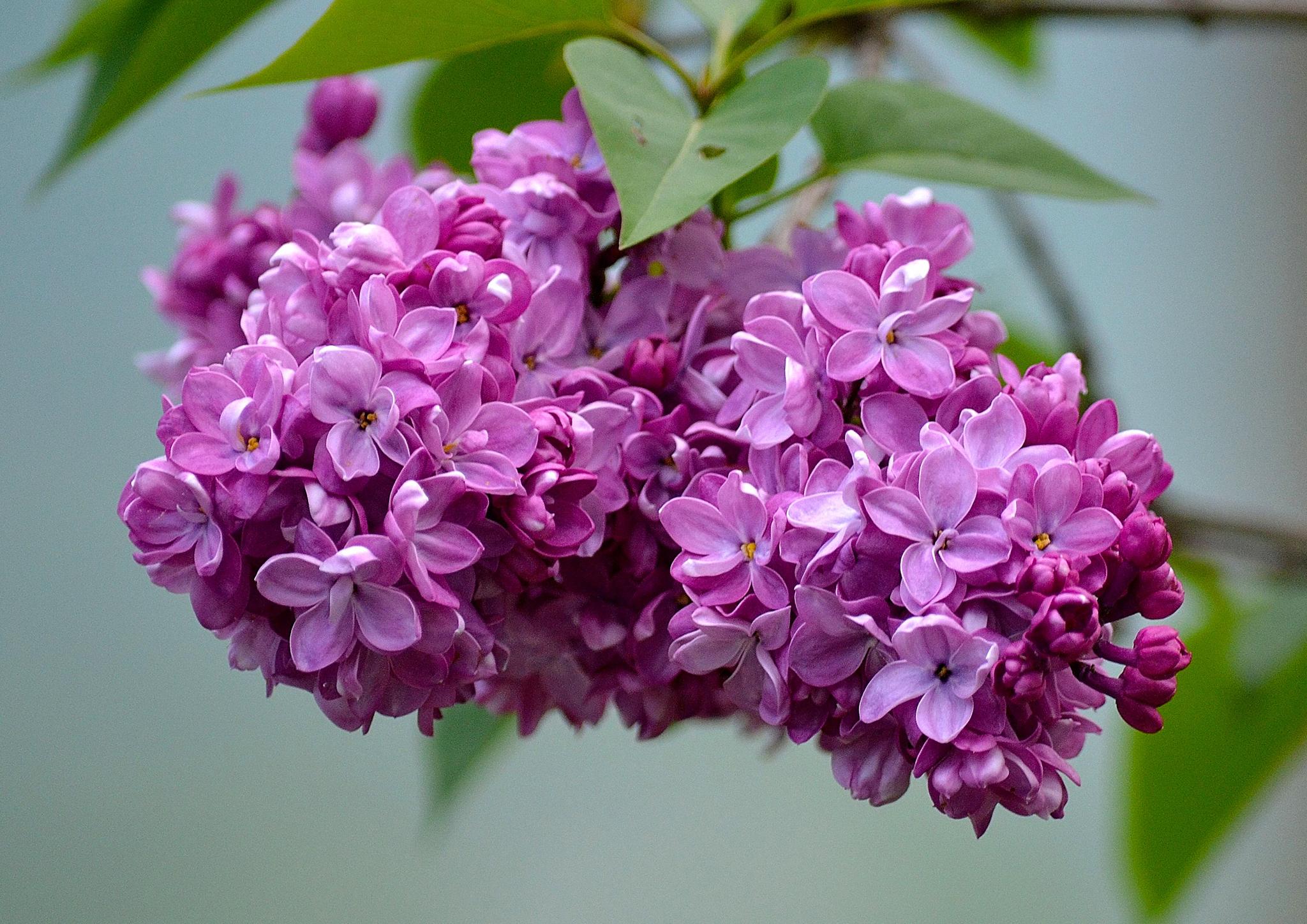 его фотографии цветы сирень еще