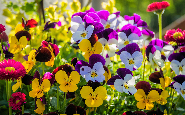 Обои цветы, анютины глазки. Цветы foto 12