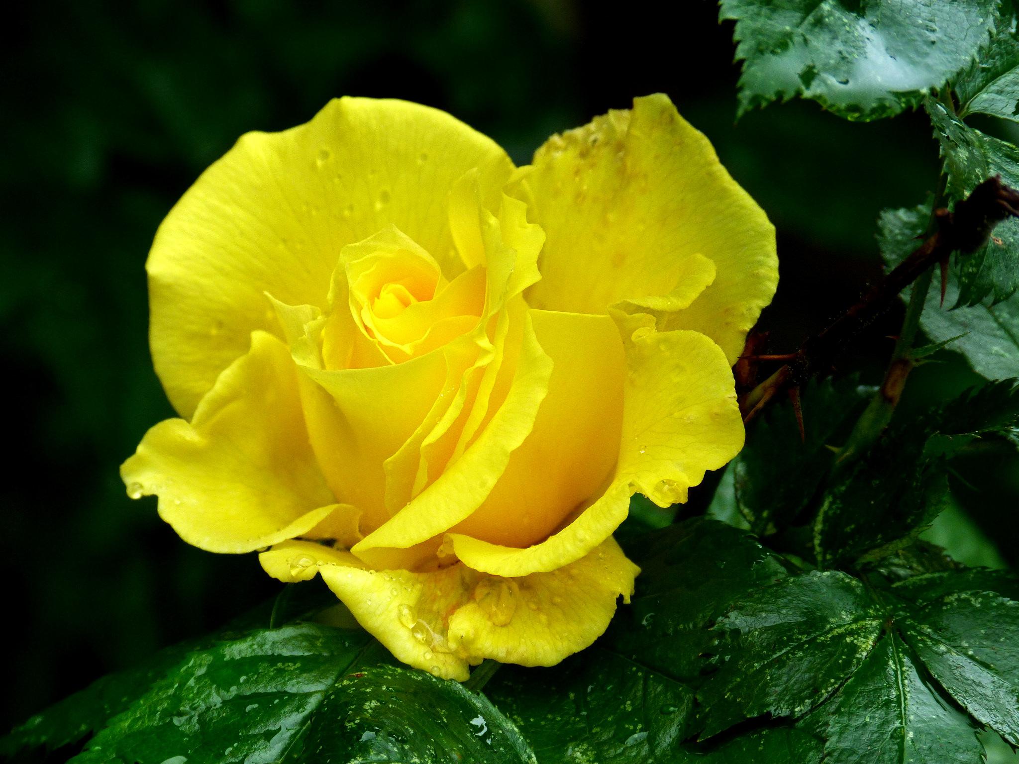 желтые розы фотографии стоил дороже