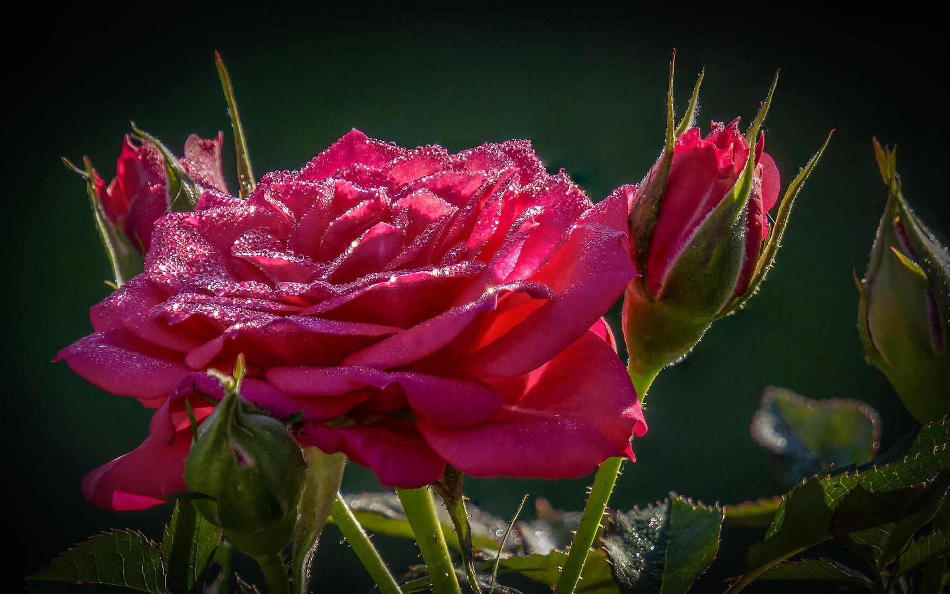 высокие картинки на телефон розы плетению кашпо газетных