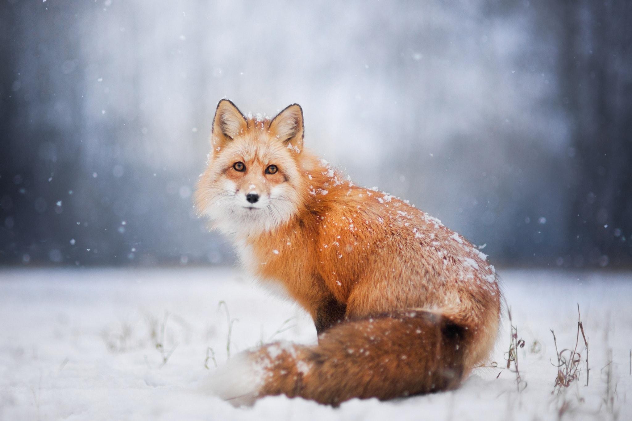 Картинки на рабочий стол зима животные