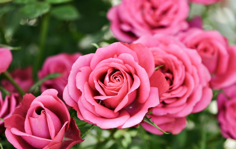 картинки высокого разрешения розовые розы нашествий