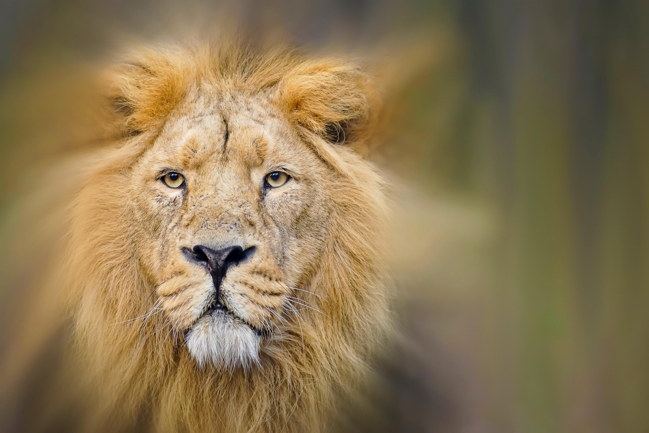 картинки на рабочий лев на природе
