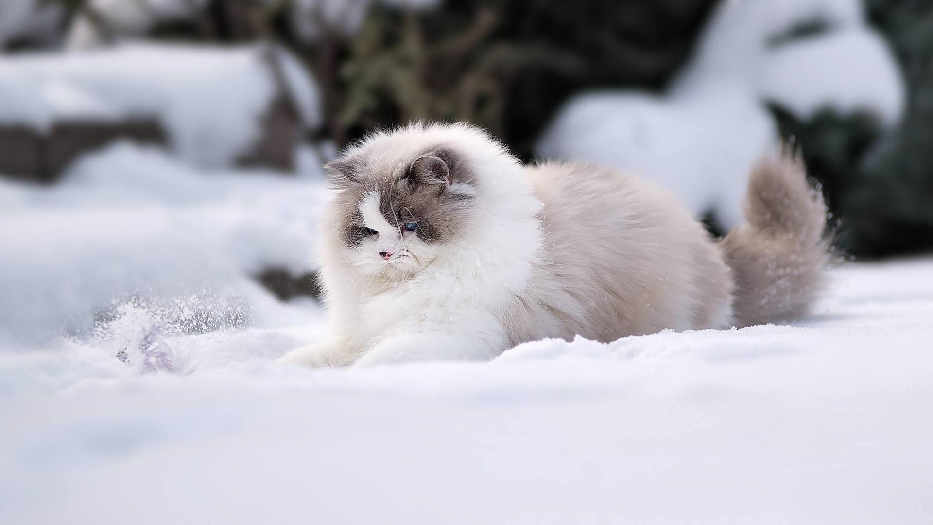 картинки коты в снегу на рабочий стол длиться, цвести полниться