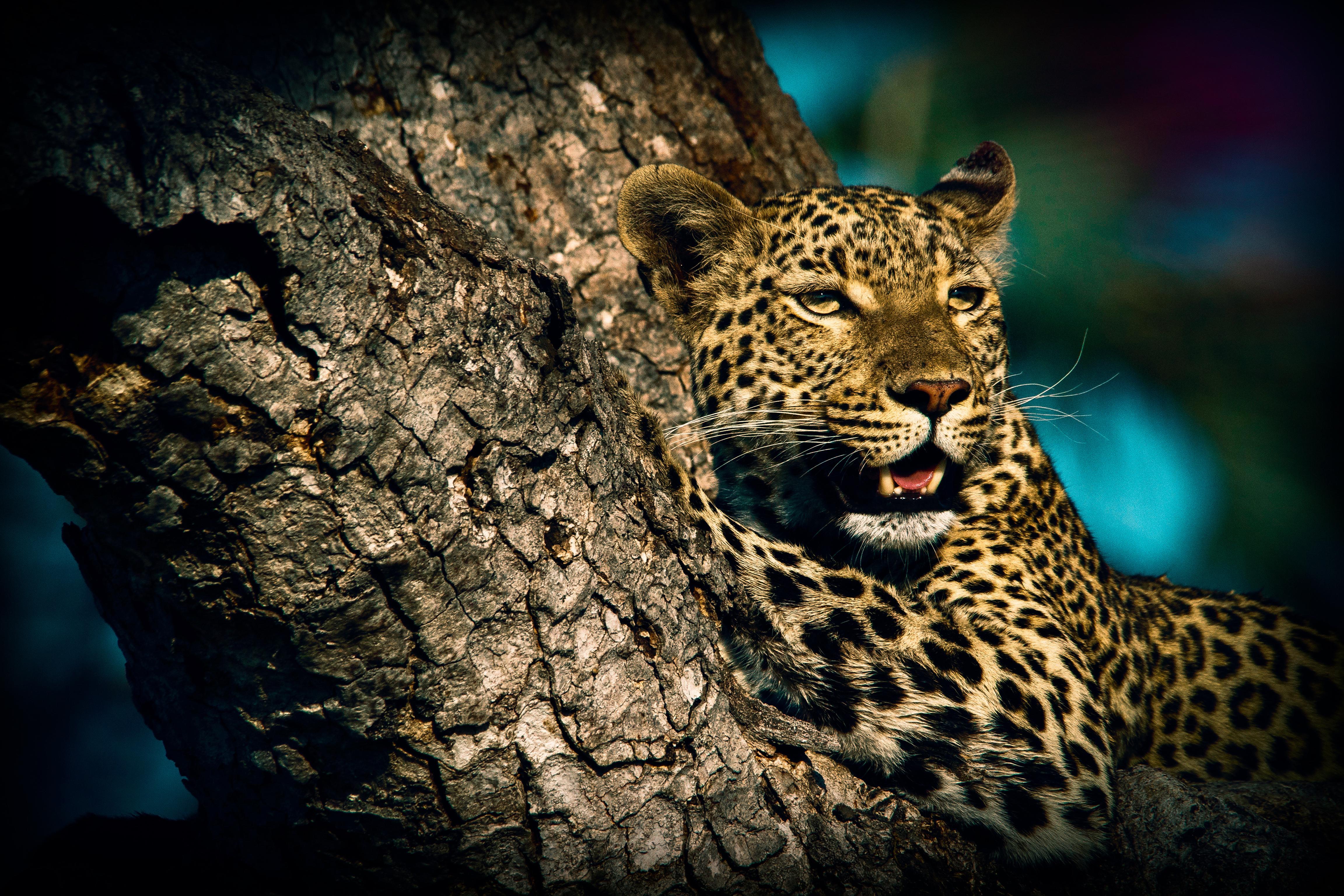 оригинальная леопард картинки на телефон леопард выращивания