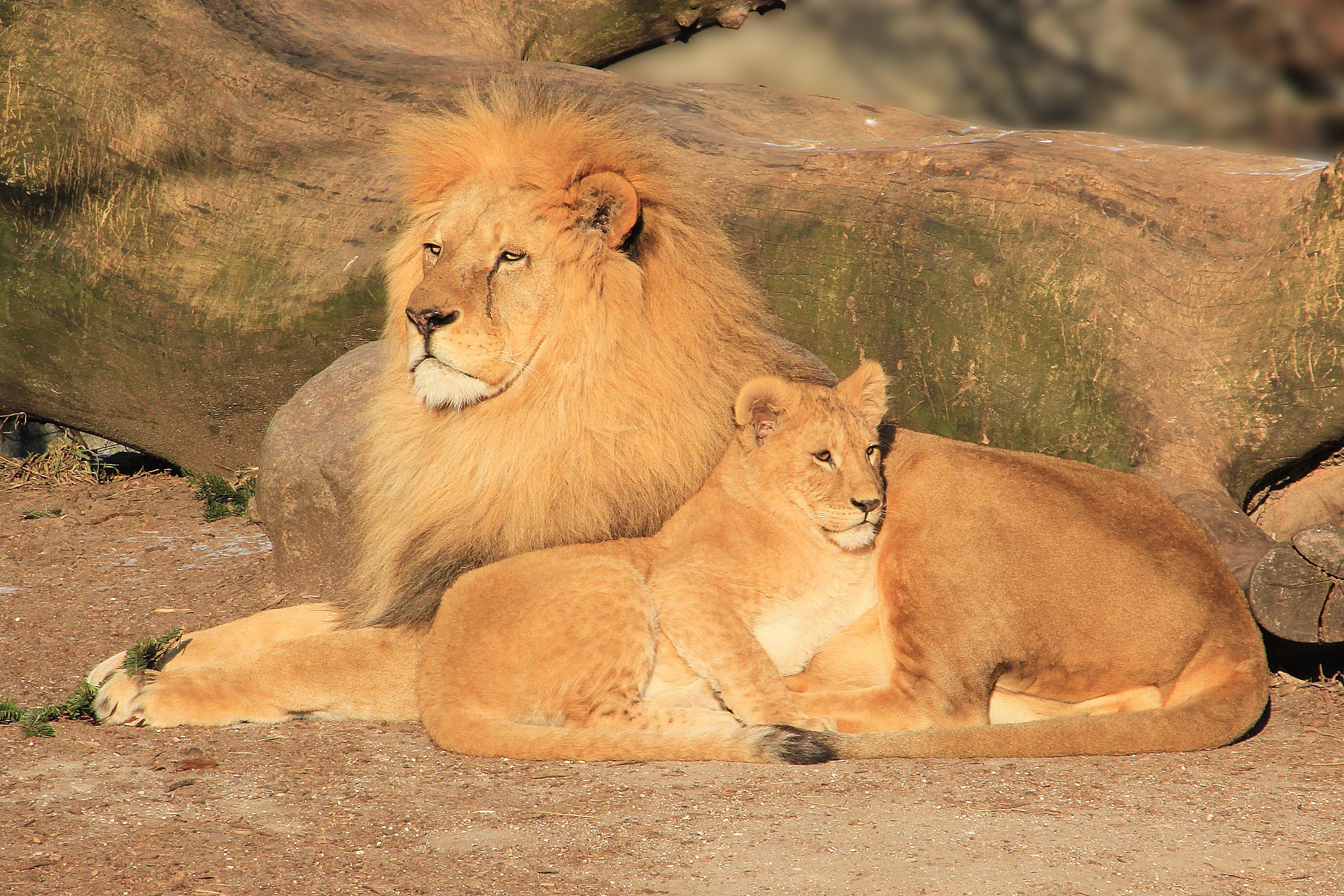 картинки львов вместе того, что