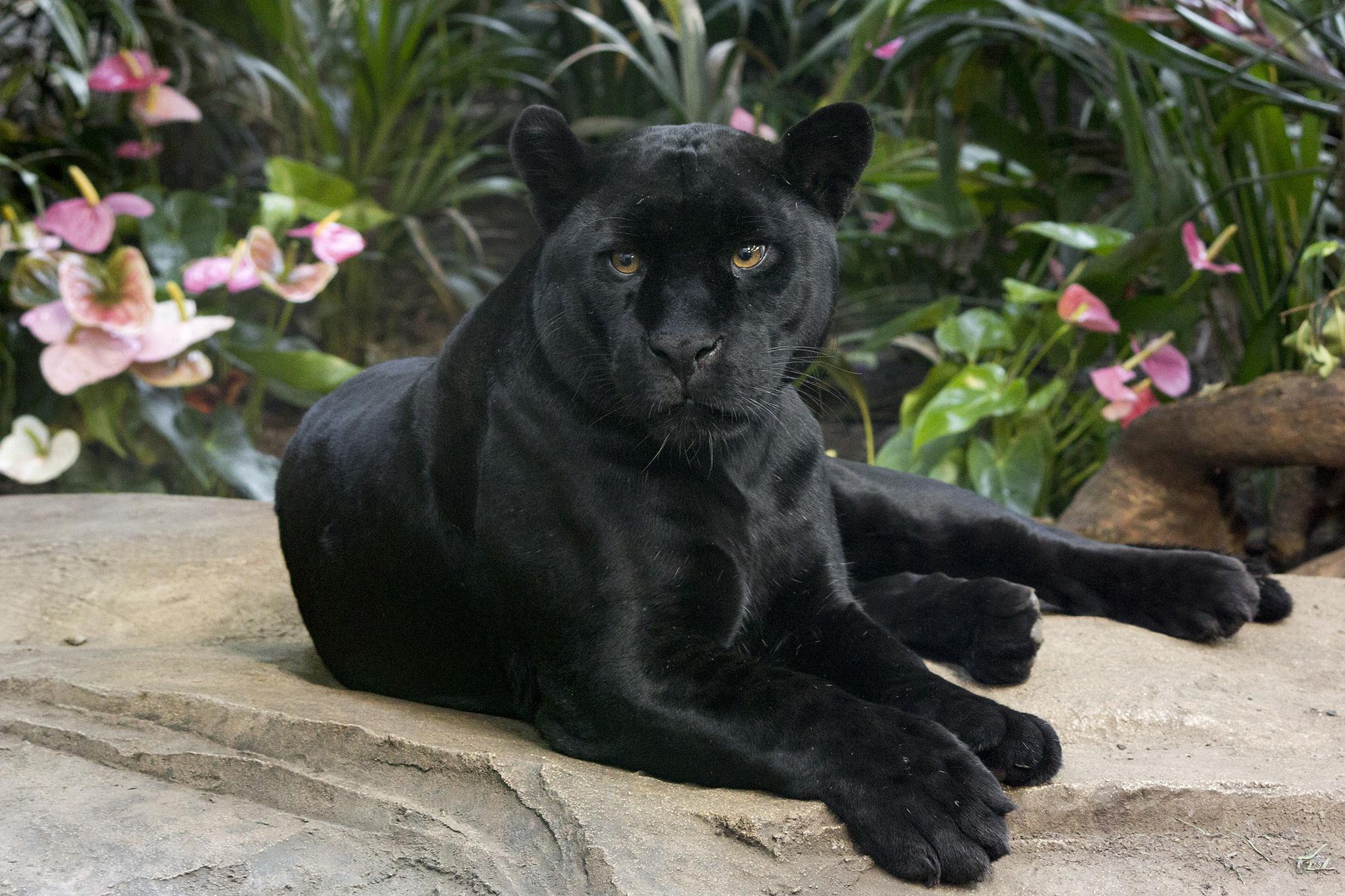 картинки с изображением черной пантеры можно считать