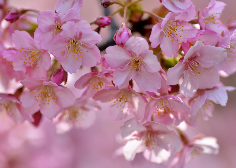 Цветы сакуры фото картинки