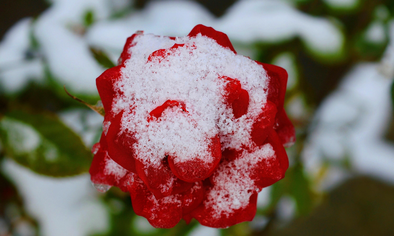 Роза в снегу картинки на рабочий стол