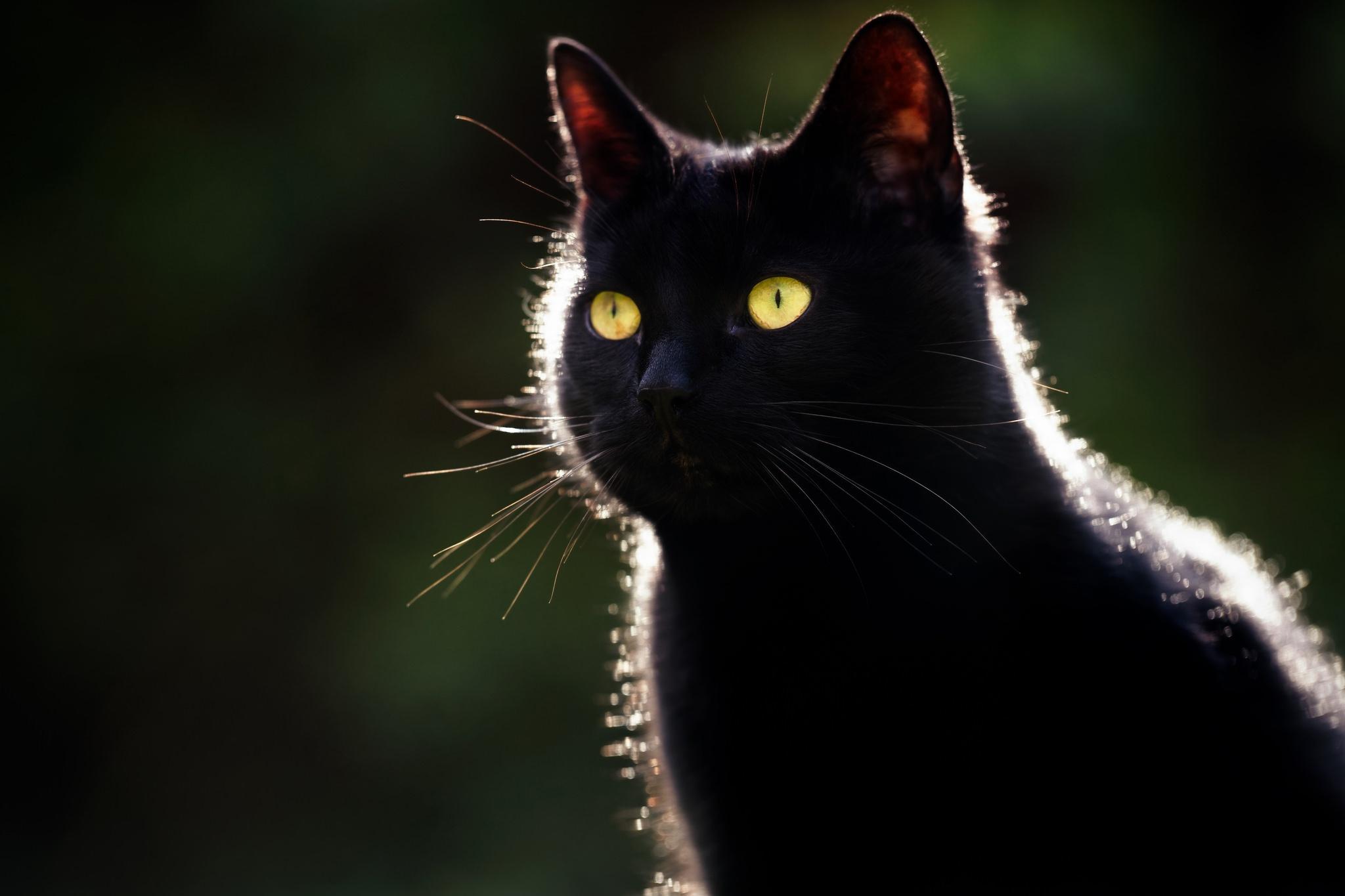 черные кошки картинки на обоях глаза черной