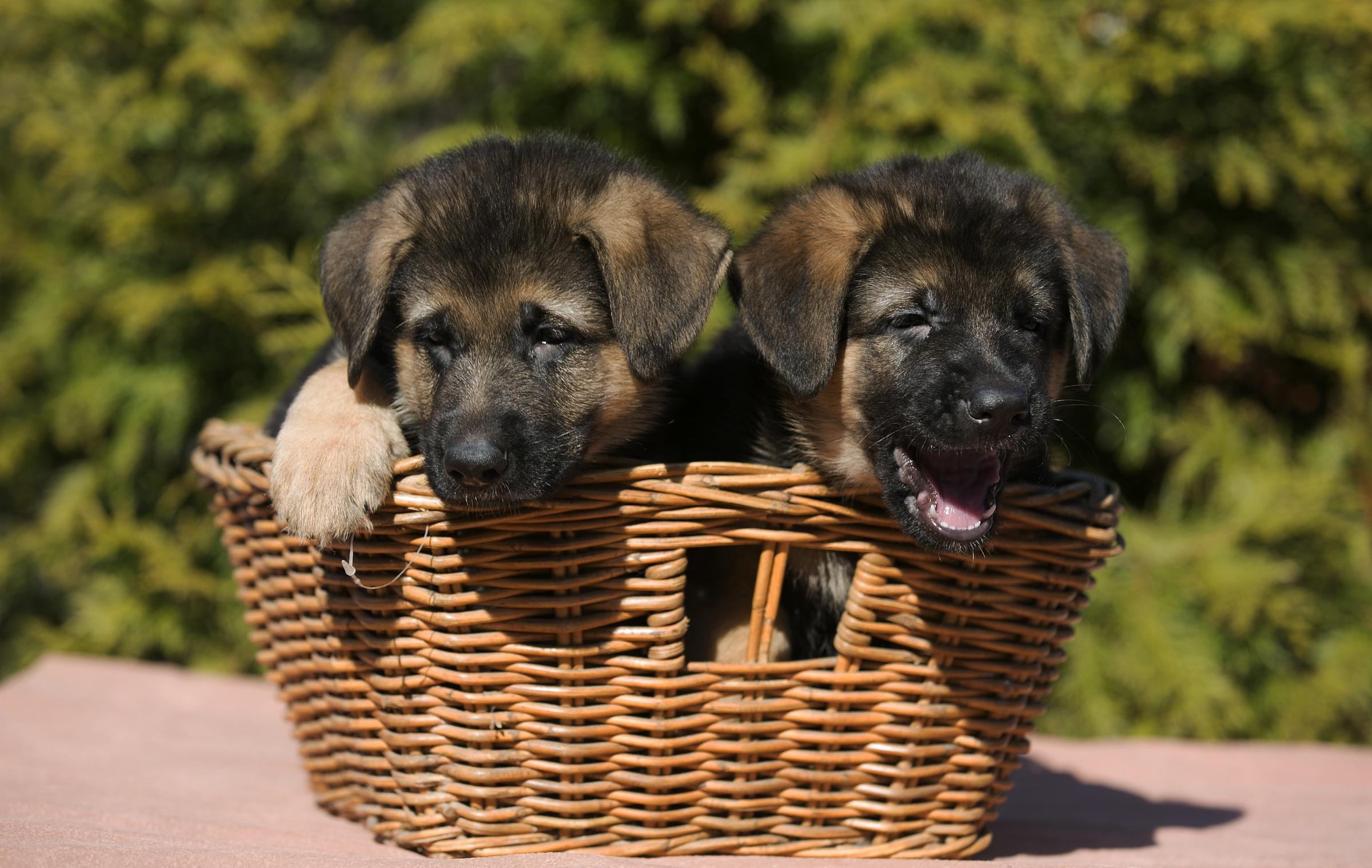Натуральные фото щенков йорка тоже обычный