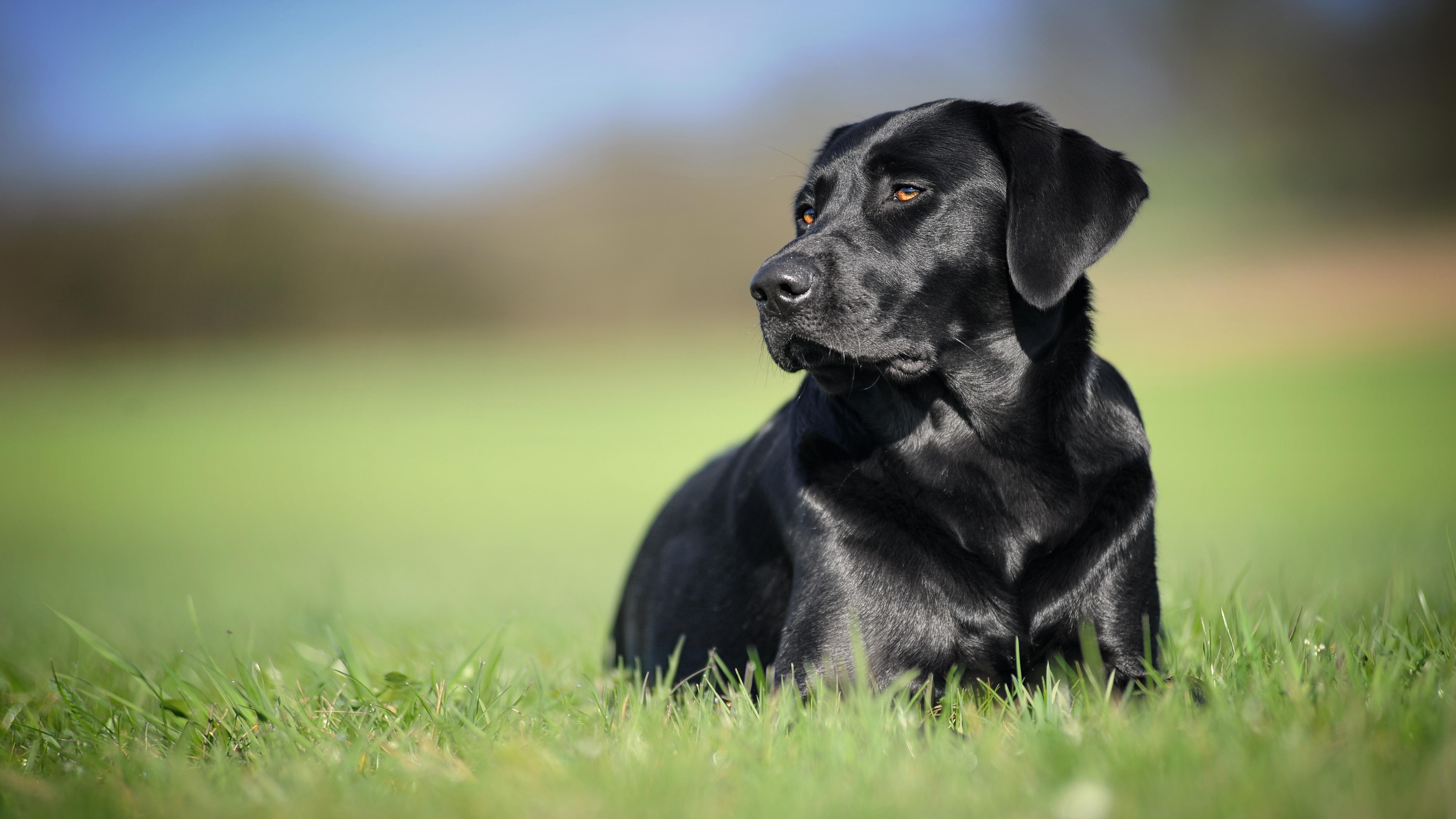 красивой картинки рабочего стола черные собаки решила уйти большого