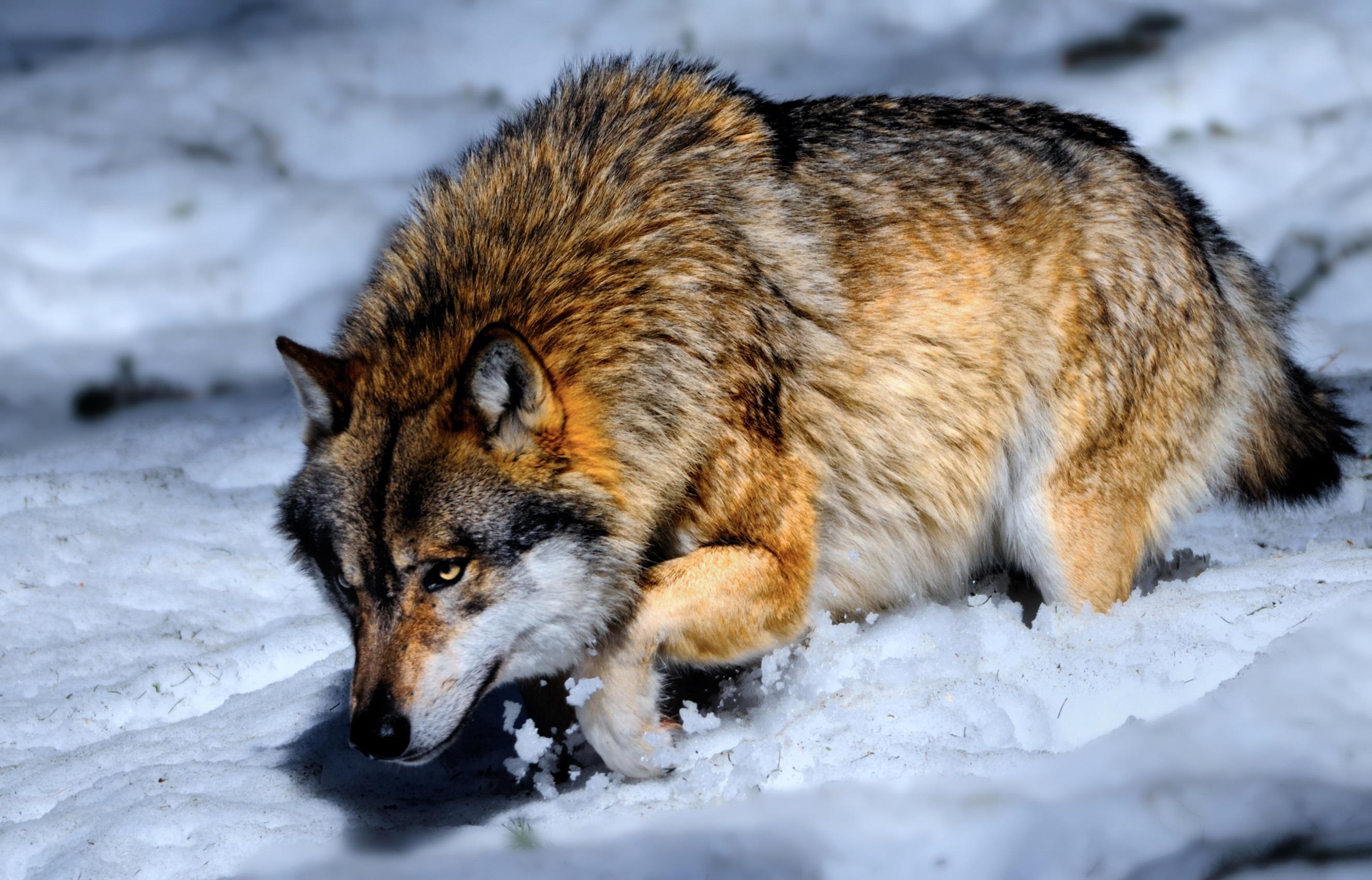картинки фото волков в картинках профессиональным праздником